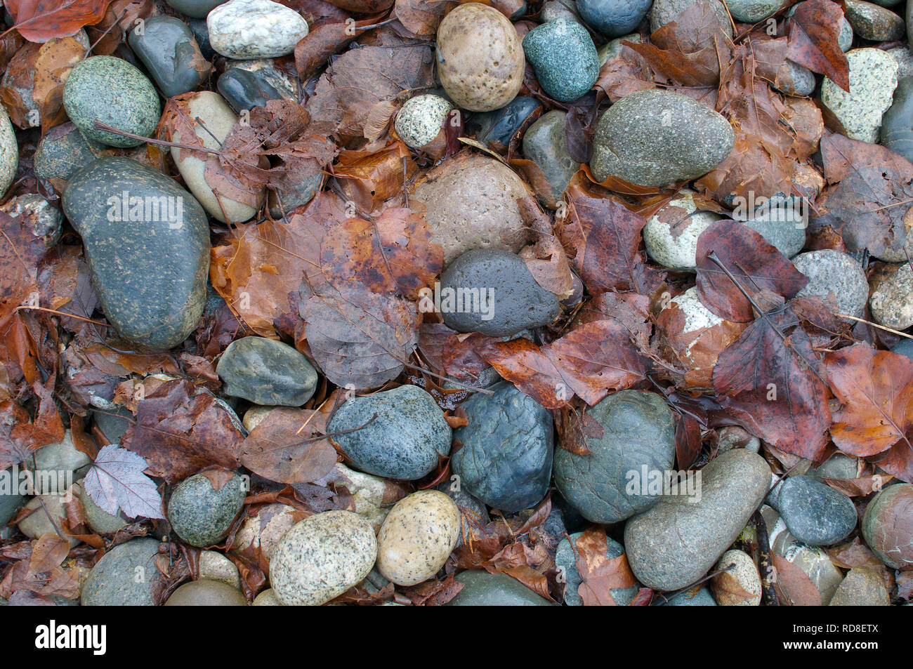 Smooth Landscaping Rocks with Fall Leaves. - Stock Image