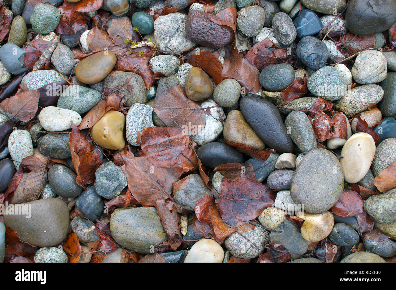 Smooth Landscaping Rocks with Fall Leaves. Stock Photo