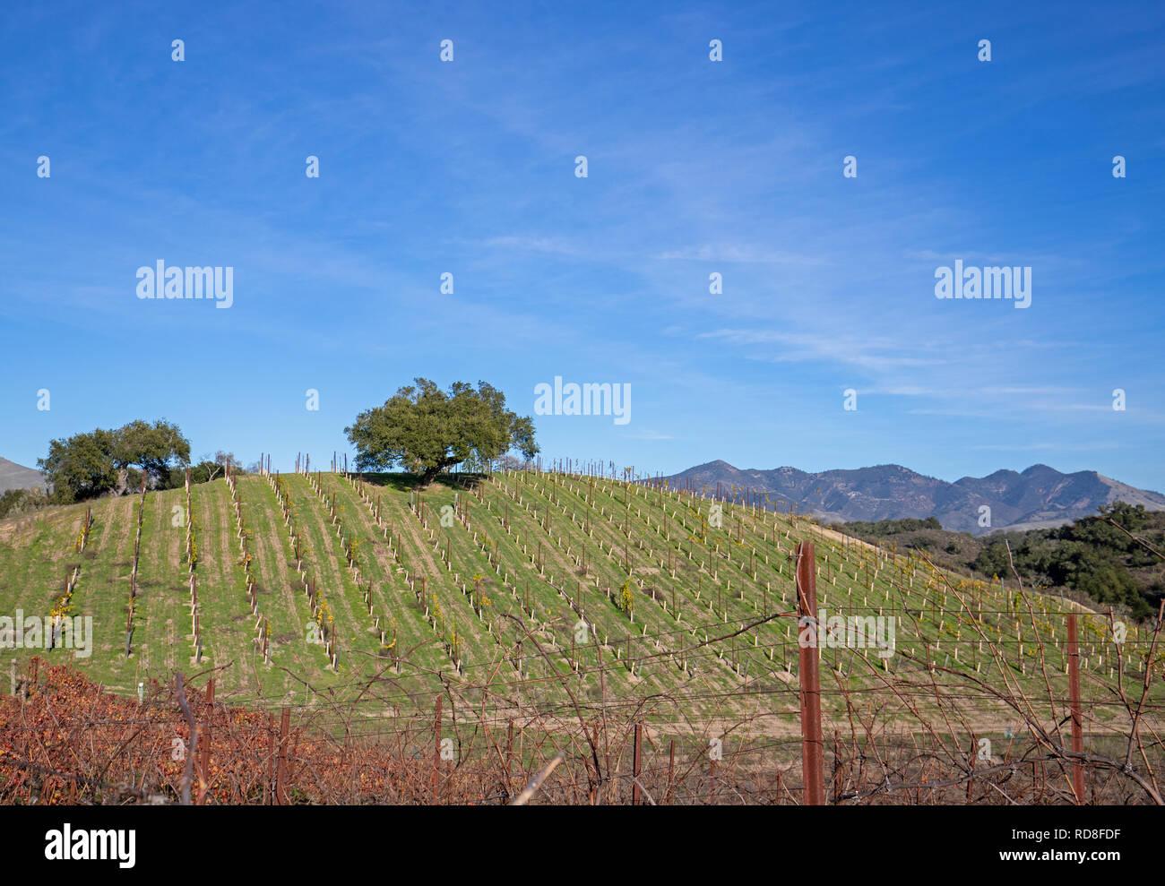 Lone oak tree on hillside in vineyard in Central California United States Stock Photo