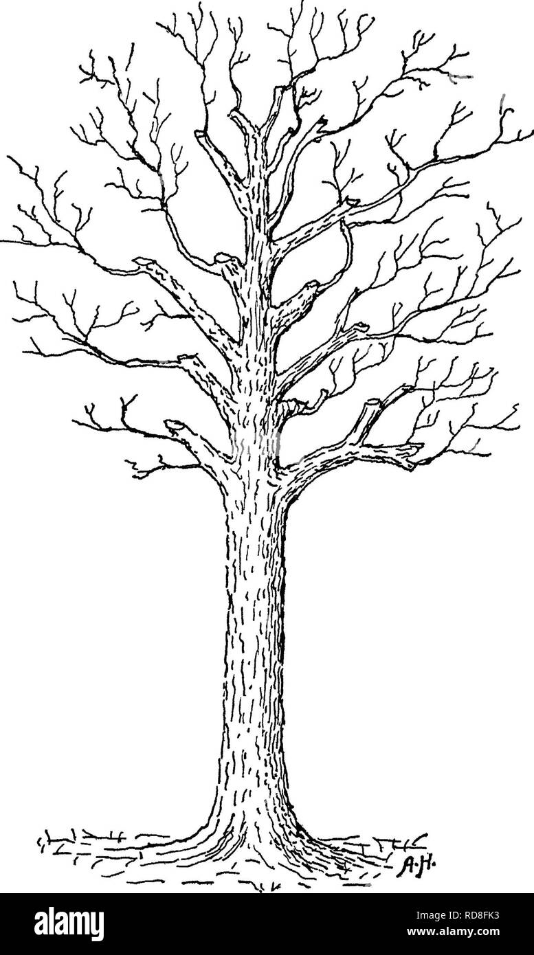 . The care of trees in lawn, street and park, with a list of trees and shrubs for decorative use. Trees; Trees. 122 General Care of Trees. Fig 47 —A restored aged tree. into old wood with a fair chance of replacing the branch system, a Beech or Horse-chestnut or Ash may refuse to. Please note that these images are extracted from scanned page images that may have been digitally enhanced for readability - coloration and appearance of these illustrations may not perfectly resemble the original work.. Fernow, B. E. (Bernhard Eduard), 1851-1923. New York, H. Holt and company - Stock Image
