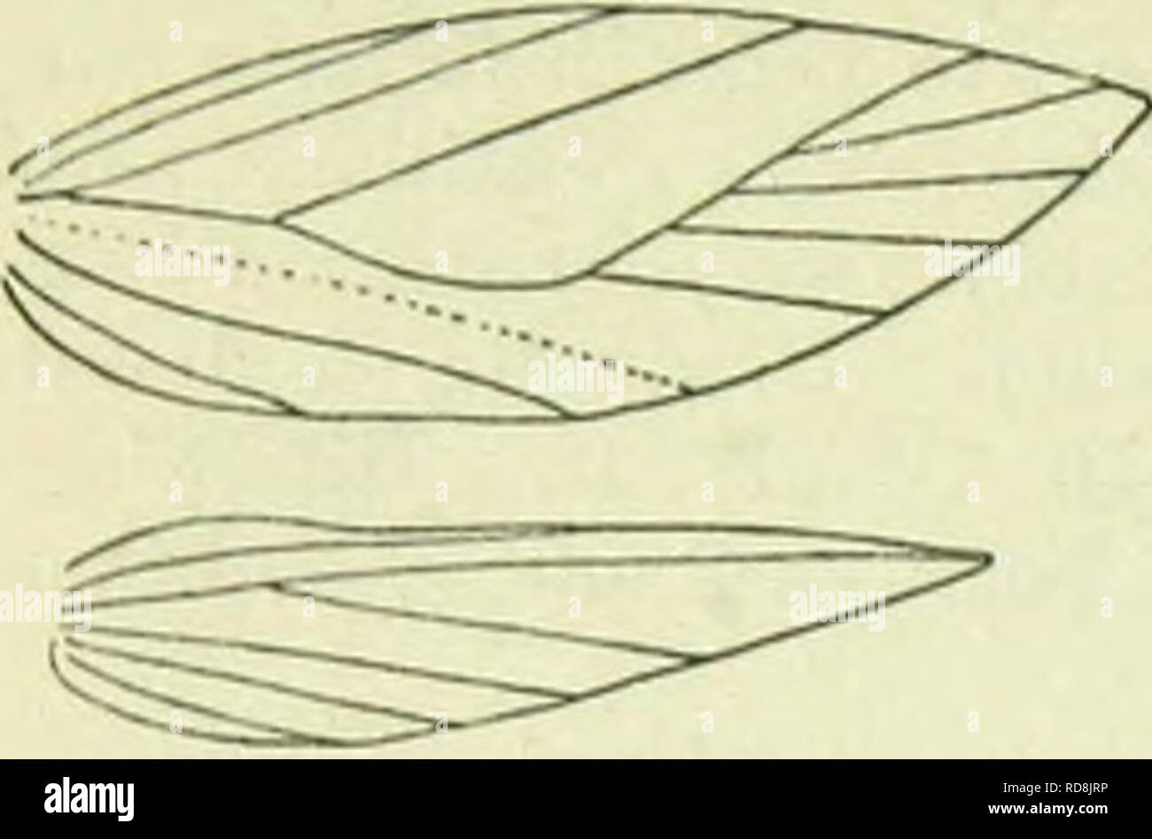 . A handbook of British lepidoptera. Lepidoptera. TINEINA [SOOLIAUI.A. Nouration of Smlinula quadr mamUella. out of 8, 9 absent. Hindwings over £, lanceolate, cilia 2£ ; cell open between 2 and 6, 3-5 absent. Only the one species is known ; it must closely approach the common ancestral form of the two preceding genera. Its own origin is obscure, but may probably be referred to a very early form of the family, allied to Tinea and preserving much of the ancestral structure. Imago with forcwings lanceolate. 1. S. quadrimaculella, Boh. 7-9 mm. Head orange, collar ochreous-whitish. Antennal cyecaps - Stock Image