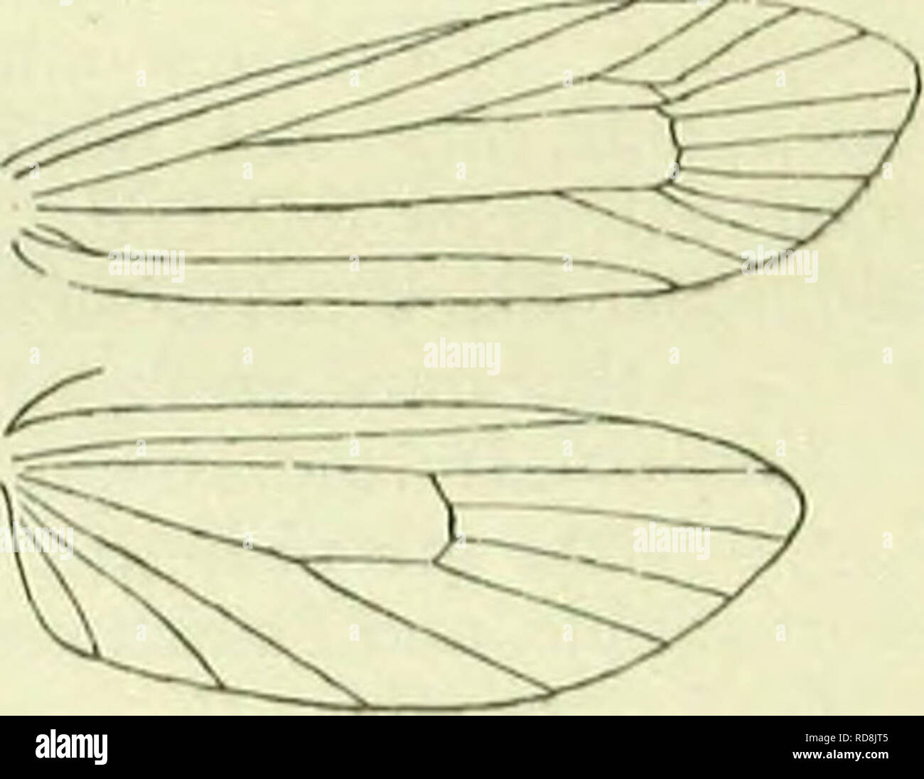. A handbook of British lepidoptera. Lepidoptera. prays] PLUTELLIDAE § ; some irregular blackish marks towards termen ; sometimes the whole wing is unicolorous dark fuscous. Hindwings rather dark grey. Britain to Caledonian Canal, Ireland, common ; C. Europe, Asia Minor; (i, 7. Larva greenish, marbled with red-brown above ; dorsal line deep green ; head pale brown, dark-spotted ; 2 with two black spots : when young mining in leaves, after- wards in bark of shoots, ultimately in spun shoots of ash ; 10-5. 3. Yponomedta, Latr. Head smooth. Antennae |, in $ filiform, minutely ciliated, basal joi - Stock Image