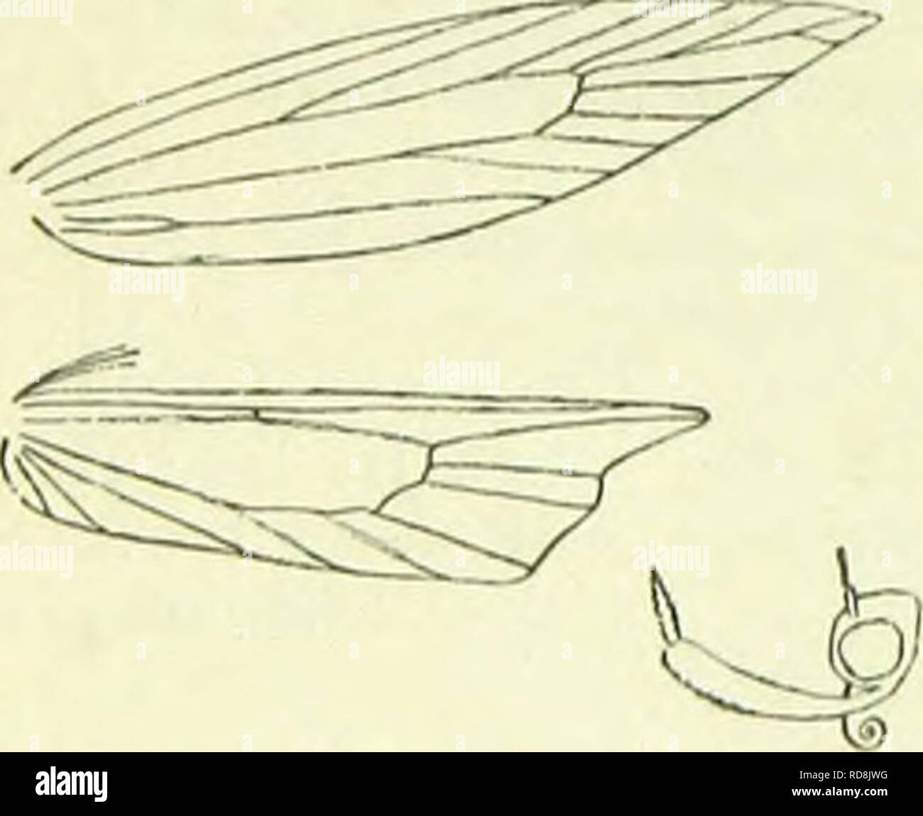 """. A handbook of British lepidoptera. Lepidoptera. 670 TINEINA Hindwings 1 or less, termcn not sinuate 21. Svmmoca. 21. Abdomen flattened . 15. Platyedra. """" not flattened . .12. Geleciha. 1. PaKASIA, I)II/i. Labial palpi very long, more or less thickened with some- what loose scales, terminal joint much shorter than second. Forcwings : 7 and 8 out of 6. Hindwings under 1, elongate- trapezoidal, apex acute, produced, termen sinuate, cilia 2; 3 and 4 remote, parallel, 5 approximated to 6, 6 and 7 somewhat approximated. A small northern temperate genus, derived from Aristotelia. Imago with forewin - Stock Image"""