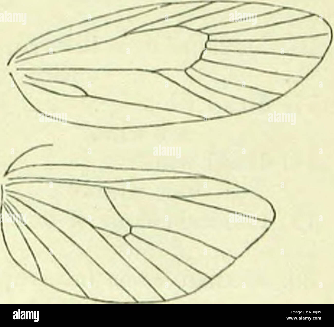 ". A handbook of British lepidoptera. Lepidoptera. lozopbra] I'llAl.OXJADAK feeding among seeds of UrribeUiferae, afterwards hybernating and pupating iii the stems. First fascia not reaching above middle . 2. dilucidana. "" entire or narrowly interrupted near costa I. J'rtincillana. 1. L. francillana, F. 14-18 mm. Forewings pale yellow; costal edge ferruginous on anterior half; two slender somewhat irregular dark ferruginous fasciae parallel to termen, first before middle, often narrowly interrupted near costa, second subterminal. Hindwings pale grey. England to Lancashire, E. Ireland, local; C. - Stock Image"