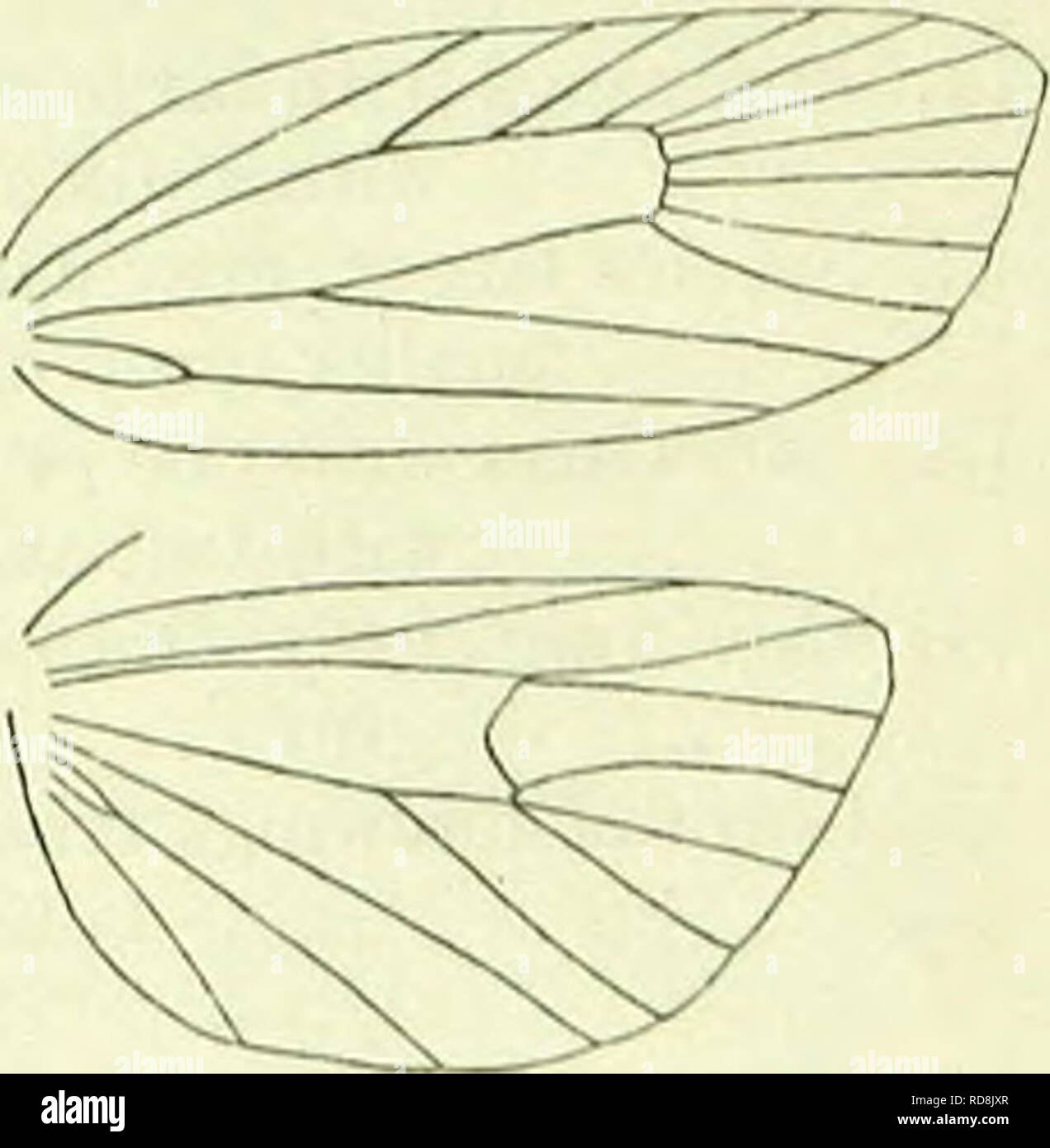 """. A handbook of British lepidoptera. Lepidoptera. TORTRICIDAE 9. Hindwings with 6 and 7 remote at base . 10. Isotbias. """" """" """" closely approximated or stalked . .10. 10. Hindvvings with 4 absent. 12. Chbimatoi-hila. """" """" present • • .11. 11. Tongue absent . . ' 11. Exapate. """" present . . .9. Tortkix. 1. KnAcoDiA, Hb. Antennae in $ shortly ciliated. Palpi moderately long, porrccted. Thorax with longitudinal posterior crest. Fore- wings without costal fold, costa broadly emarginatc beyond middle, surface with slight scale-tufts ; 7 to costa. Hindwings: 3 and 4 connate, 5 closely approximated to 4,  - Stock Image"""