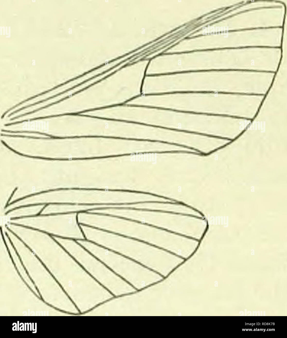 """. A handbook of British lepidoptera. Lepidoptera. deilepiiila] SPHINGIDAE 295 2. Disc of hindwings rosy . . .3. ,, """" yellow-ochreous . 1. porcelhts. 3. Hindwings with black subtcrminal fascia. 4. """" without such fascia . 2. etpenoi: 4. Fore wings with anterior edge of pale band straight 5. lineata. """" """" ,, """" irregular 5. 5. Edge of dark postmedian band reaching middle of dorsum . 6. euphorbiae. """" """" """" ,, reaching dorsum before middle 7. galii. 6. Forewings light brown . .3. celerio. """" olive-green ... 4. nerii. 1. D. porcellus, L. 44-52 mm. Forewings deep yellow- ochreous, more brownish towards ba - Stock Image"""