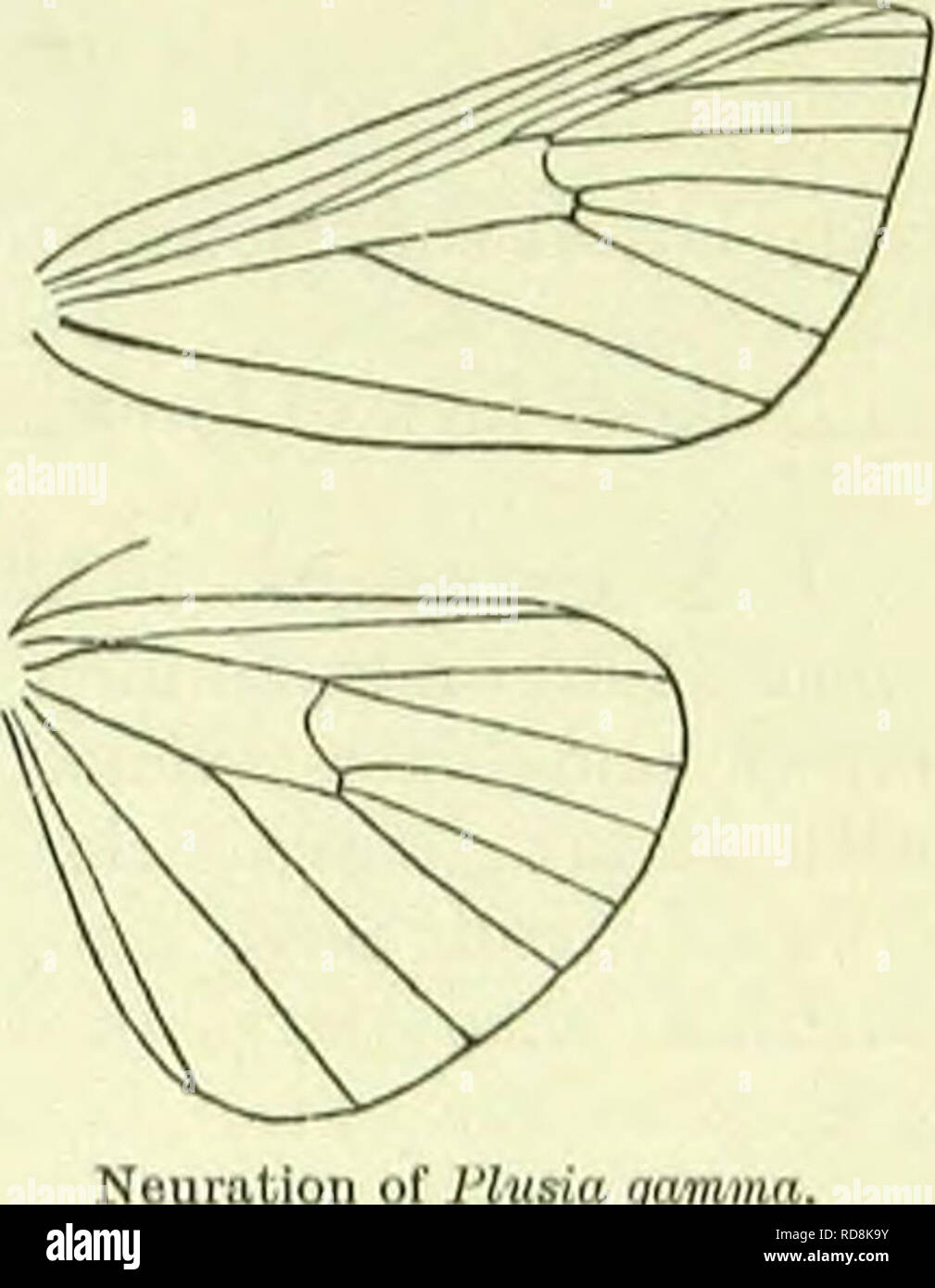 . A handbook of British lepidoptera. Lepidoptera. SCOMOrTERYX] l'l.UKIADAH spots on costa posteriorly. Hindwings rather dark fuscous, lighter basally. Britain to the Shetlands, Ireland, common; N. and C. Europe, N. and WC. Asia to Turkestan, N. America; 8-5. Larva green; dorsal line darker, indistinct; spiracular pale, darker-edged above; spiracles yellow, brown-edged; head green : on Salix and hawthorn ; 5-7. 12. Plusia, 0. Head rough-scaled. Antcnnao in $ very shortly ciliated. Palpi rather long, curved, ascend- ing, second joint rough - scaled, terminal moderately long or short, more or les - Stock Image