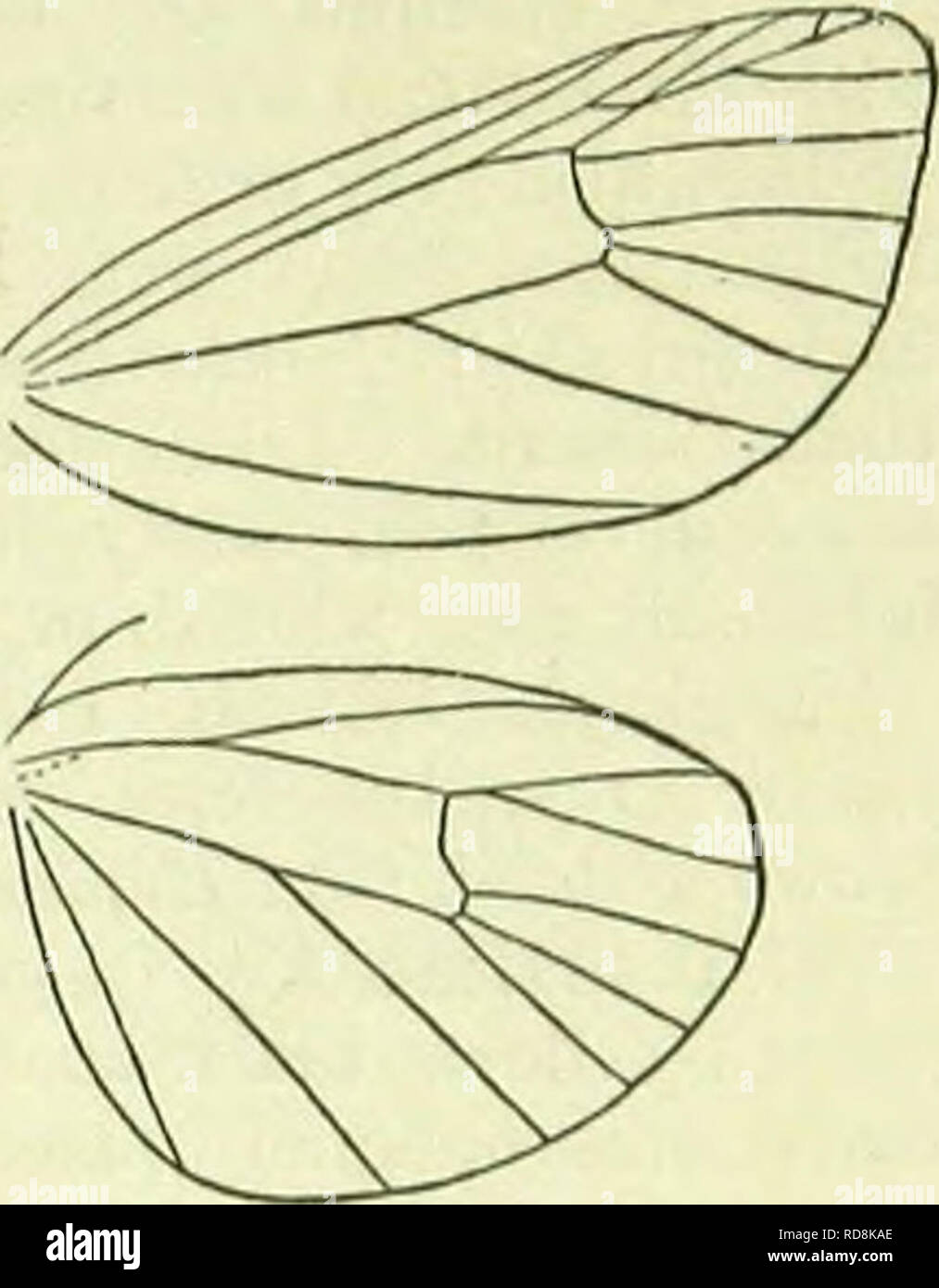. A handbook of British lepidoptera. Lepidoptera. cosoinia] ARCTIADAE. blackish, tubercles yellowish, hairs brown ; dorsal line orange- yellow ; spiracular whitish ; head black : on grasses, Erica, etc.; 8-5. 18. Phragmatobia, Stph. Head rough-haired. Ocelli present. Antennae in <J ciliated, with longer setae at joints. Palpi moderately long, porrected, rough- haired. Thorax densely hairy above and beneath. Abdomen hairy. Femora hairy beneath, tibiae smooth-scaled. Forcwings: 7 and 8 out of 9, 10 out of 9, 11 connected with 9. Hindwings: 3 and 4 sometimes connate, 5 approximated, 6 and 7 co - Stock Image