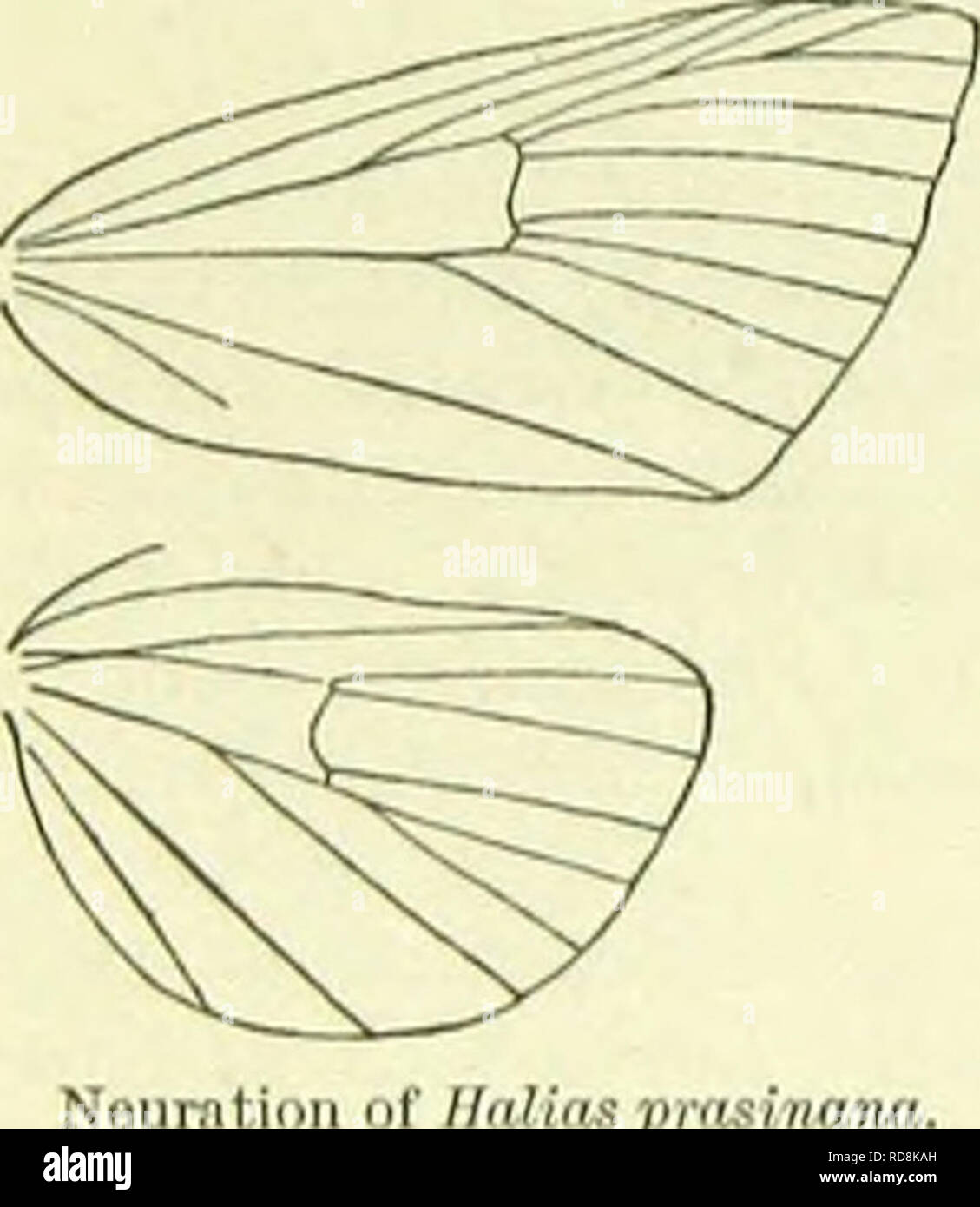 . A handbook of British lepidoptera. Lepidoptera. â M OARADRININA [llYLOPHILA ciliated. Palpi short, ascending, with appressed scales. Thorax thinly hairy beneath. Abdomen smooth-sealed. Tibiae smooth- scaled. Forewings: 9 and 10 out of 8. Hindwings: 3 and 4 connate, 5 approximated to 4, 6 and 7 connate, 8 from middle of cell. Two or three species found in temperate Asia are assigned to the same genus. Larva without hair-tufts. Cocoon boat-shaped. 1. H. bicolorana, Ftiesl. (quercana, Sehiff.) 40-45 mm. Head green, faco red beneath. Forewings bright green ; costal edge pale yellowish ; first an - Stock Image