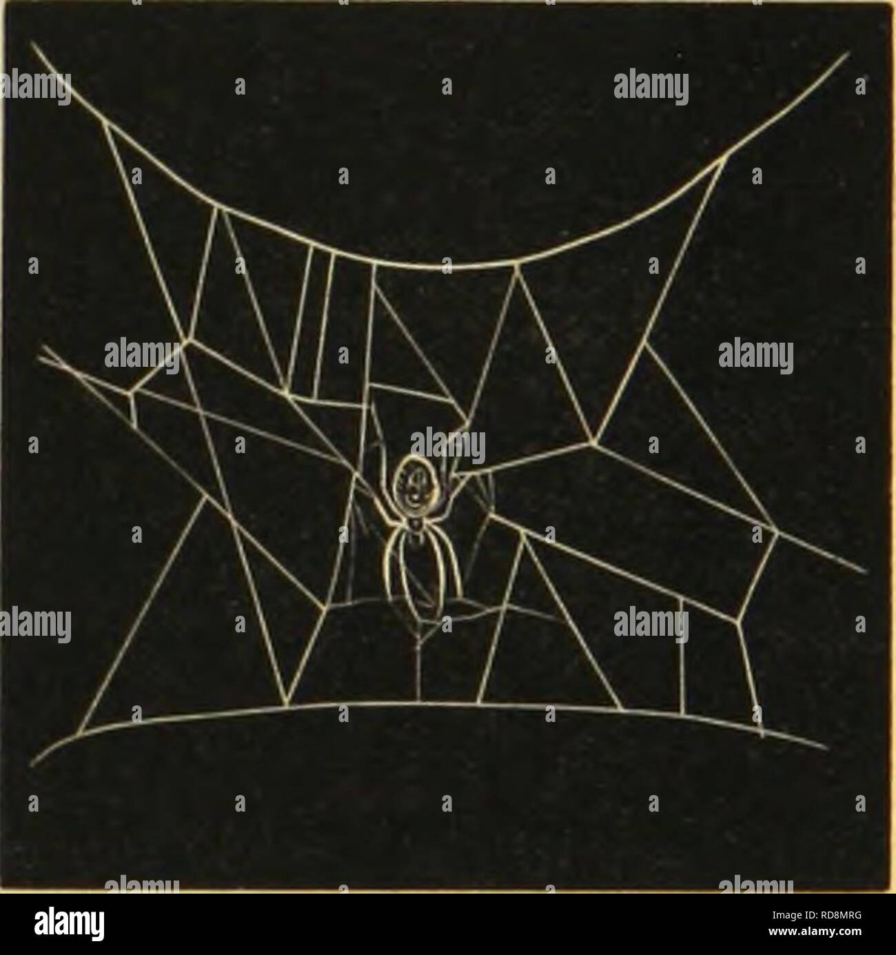 . American spiders and their spinning work. A natural history of the orbweaving spiders of the United States, with special regard to their industry and habits. Spiders. CHAPTER XIV. MECHANICAL STRENGTH OF WEBS AND PHYSICAL POWER OF SPIDERS. I. The size of orbwebs varies generally with the size of the builders. But location, the condition of the wind, and contiguity of other webs have much to do in determining the matter. The abundance of insect food may be a factor modifying both form and size. An example of this was seen in the colony of Epeiroids referred to, Cliapter III., as stretching the - Stock Image