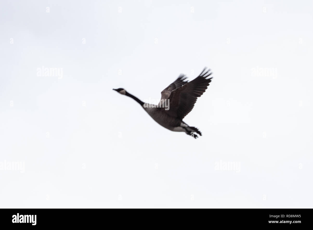 Toronto, CANADA - january 8th, 2019: scared ducks near the wavy lake with stormy weather in background - Stock Image