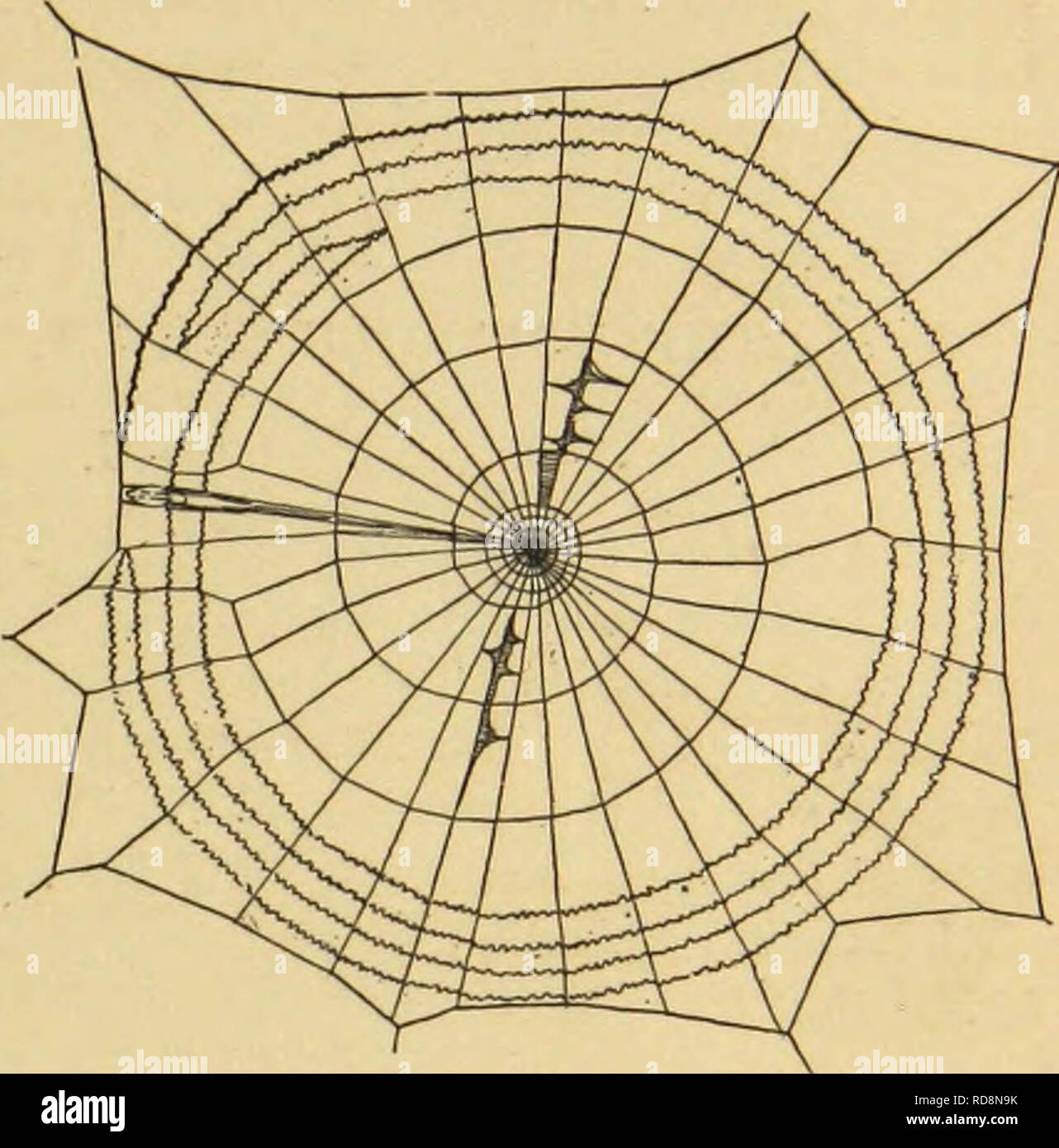 """. American spiders and their spinning work. A natural history of the orbweaving spiders of the United States, with special regard to their industry and habits. Spiders. THE PEATHEKPOOT SPIDER, ULOBORUS PLUMIPES. 179. Fig. 167. Unfinished web of Uloborus Walckenaerius. (After Emerton.) The same author says that the spiral lines of Hyptiotes and Uloborus have a strong, smooth thread through the centre. That of Hyptiotes, which he examined fresh, had the finer . part arranged in reg- Thread """"^^^ leaves or scallops, in whicli the separate fibres could not be distinguished. The thread of Ulobo - Stock Image"""