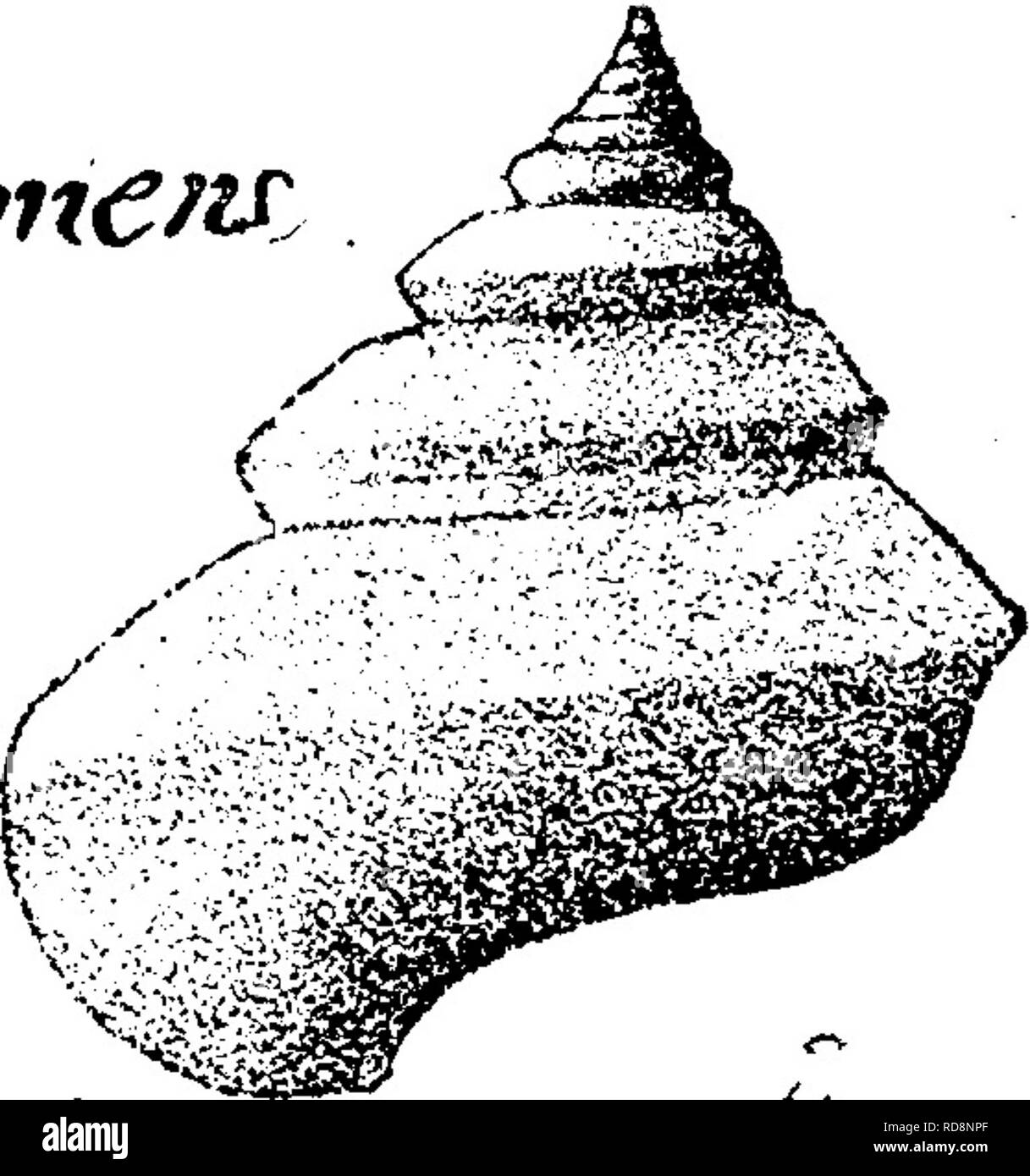 . A dictionary of the fossils of Pennsylvania and neighboring states named in the reports and catalogues of the survey ... Paleontology. p, cLurhajnCfss Wit^ ada, 111, i, 1884, page 23, plate 3, fig. 12, side view of a speci- men from Durham, Canada West; 12 ^, another showing mouth; crowded transverse striae; shell extremely thickened at the periphery of the last volute, so as to make an exactly circular mouth; a curious feature seen also in Pterocheilus primus^ Moore, from English Lias, Differs from P. hispiralis^ Hall, in more obliquely flattened spire, etc.— Guelph formation. Vb Pleurotom - Stock Image