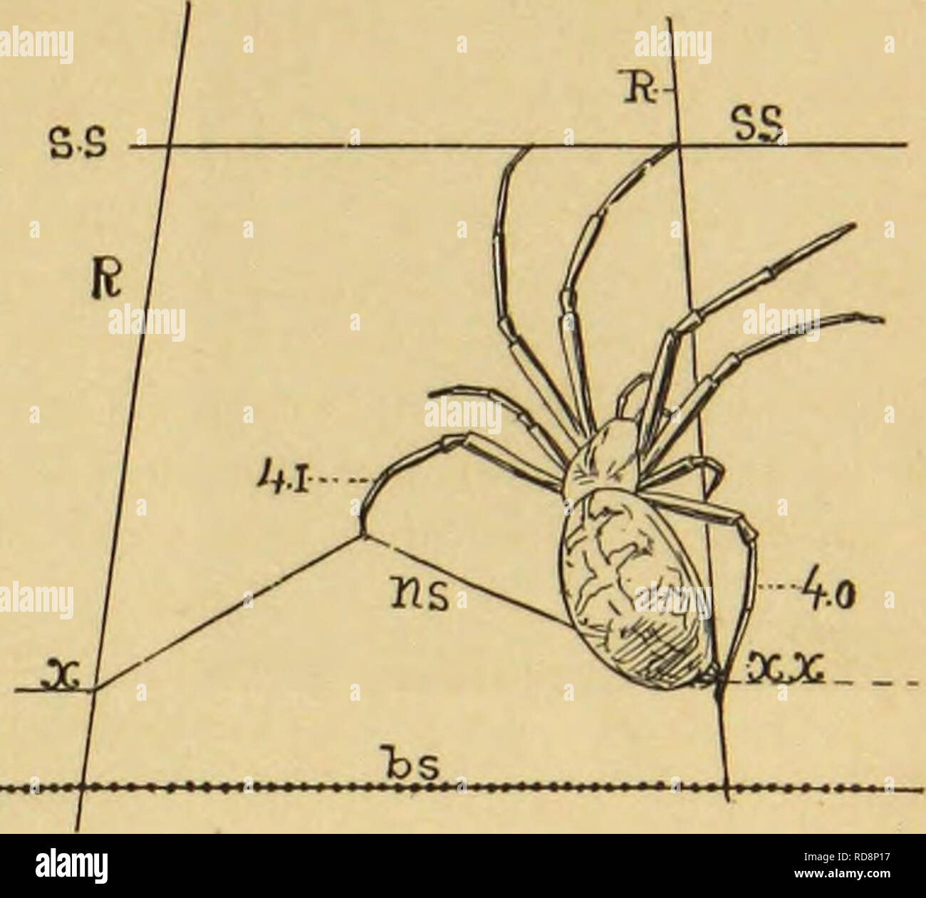 . American spiders and their spinning work. A natural history of the orbweaving spiders of the United States, with special regard to their industry and habits. Spiders. THE ARMATURE OF ORBWEBS : VISCID SPIRALS. 81. Fig. 79. Clamping a spiral string. which the spider all the while has been rapidly approaching, and grasps it with the claws just beneath the point where the new string will cross. This then is the attitude of the spider at this point of her operations. Fig. 79. One hind foot (4.o) grasps the radius near and below the point (xx) just opposite the last point of attachment. The other  - Stock Image