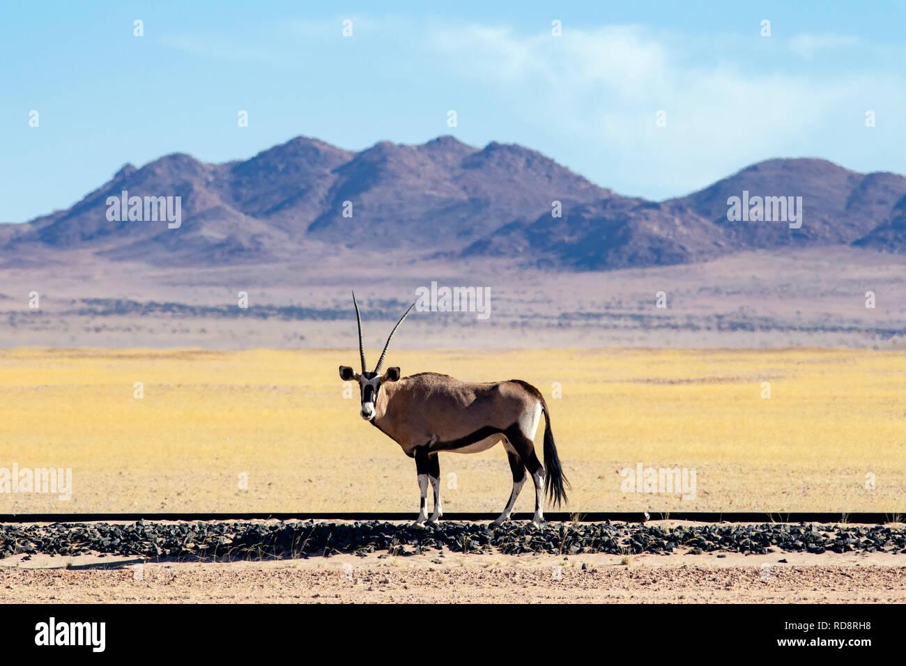 Gemsbok or Oryx (Oryx gazella) on railway near Aus, Namibia, Africa - Stock Image