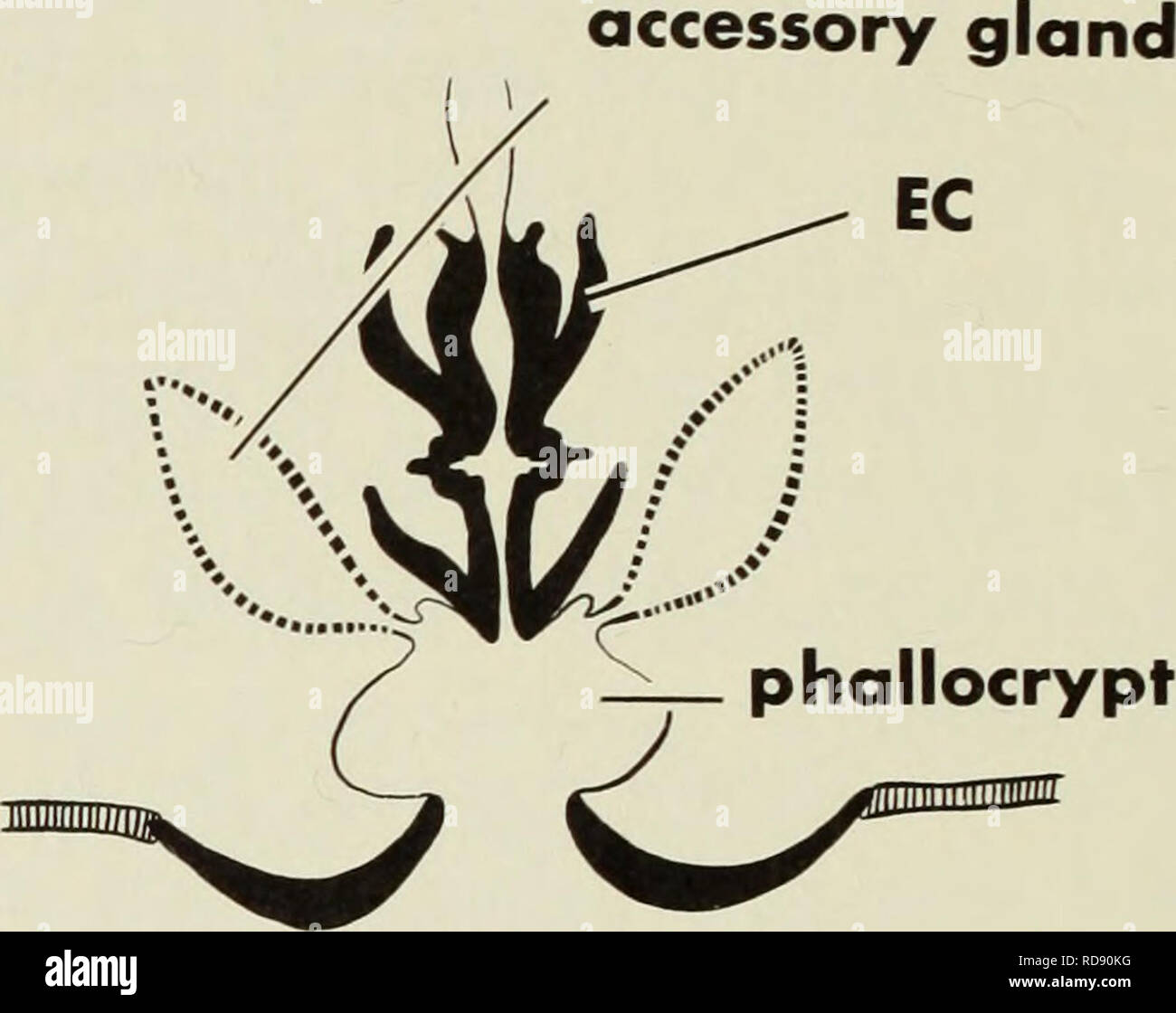 . The ejaculatory complex in water mites (Acari:parasitengona) : morphology and potential value for systematics. Arachnida; Arachnida; Generative organs, Male; Hydrodroma; Water mites. excretory pore coxa genital plate gnathosoma. midgut gnathosoma lb seminal vesicle ductus ejaculatorius gland. Please note that these images are extracted from scanned page images that may have been digitally enhanced for readability - coloration and appearance of these illustrations may not perfectly resemble the original work.. Barr, David W; Royal Ontario Museum. [Toronto] : Royal Ontario Museum - Stock Image