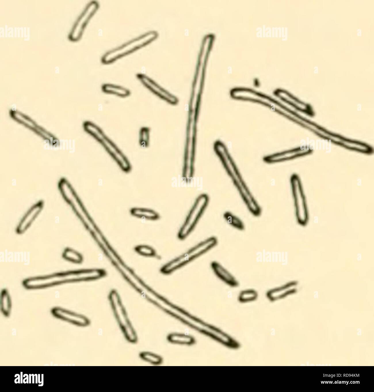 . Einfhrung in die Agrikulturmykolgie. Soil microbiology; Soil fungi. 66 Der Kreislauf d. Elemente unter Mitwirkung v. Mikroorganismen. sind auch für die Enteisenung von Eisenwässern von Bedeutung. So werden z. B. auch nach Gaines (1) in der Erde befindliche eiserne Leitungen durch Bakterientätigkeit korrodiert. Neben den fädigen Eisenbakterien, wie Chlaniydothrix (Leptothrix) ochracea Mig., Chlamydothrix ferruginea Mig., Chlamydothrix sideropus. Please note that these images are extracted from scanned page images that may have been digitally enhanced for readability - coloration and appearanc Stock Photo
