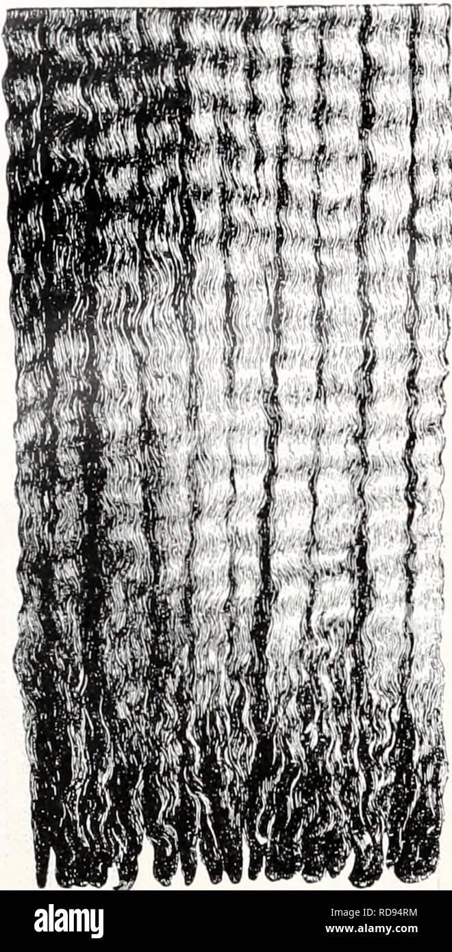 . Einführung in die Vererbungswissenschaft; in zweiundzwanzig Vorlesungen für Studierende, Aerzte, Züchter. Heredity. 412. im ganzen, Fig. 165 im Skelett, verglichen mit dem normalen FuÃ, zeigt, so daà eins der grundlegenden systematischen Merkmale der ganzen Ordnung, die Paarhuf ig keit, wenn auch nicht aufgehoben (dazu müÃte eine Zehe aasfallen), so doch verschleiert ist. Eine Zeitlang wurden solche Einhufer- sauen lebhaft gezüchtet, als vor Ein- führung der Eisenbahnen groÃe Herden weit weggetrieben wurden und sich dabei die Einhufer als bessere Wanderer er- wiesen. Sie sollen auÃerde - Stock Image