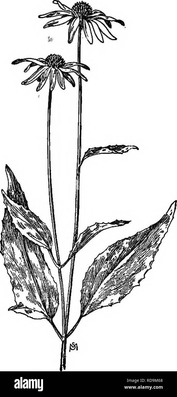 . A manual of weeds : with descriptions of all the most pernicious and troublesome plants in the United States and Canada, their habits of growth and distribution, with methods of control . Weeds. 464 COMPOSITAE (.COMPOSITE FAMILY). Fig. 324. — Purple Cone-flower (Brauneria pur pared). X j. The range of this weed is being rapidly extended by the agency of baled hay and grass seeds. It is a i handsome - plant, two to four feet tall, with slender, rough-hairy stem, usually without branches. Leaves dark green, three to eight inches in length, alternate or the lower ones opposite, lance-shaped, ha - Stock Image