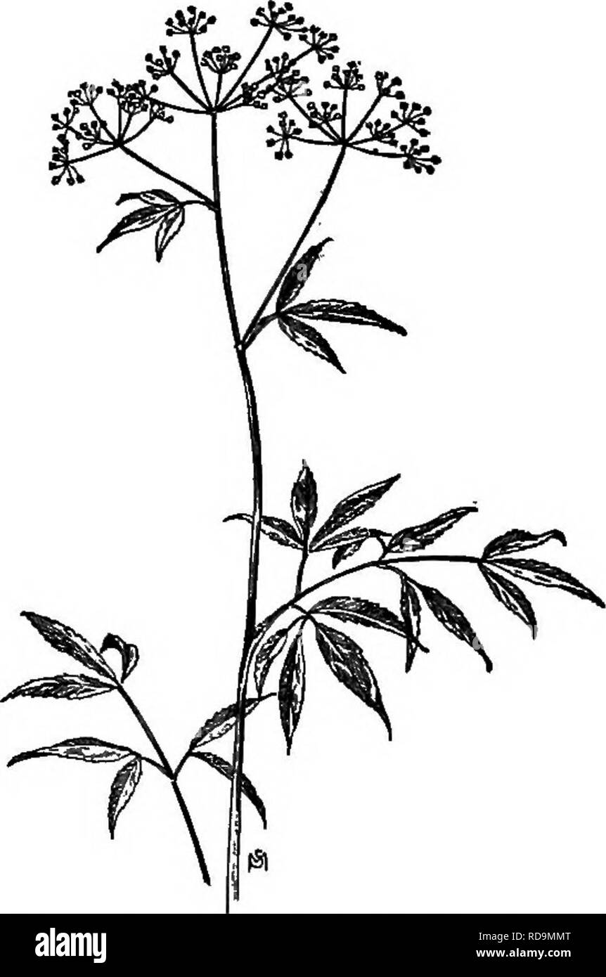 cicely black and white stock photos images alamy Cicely Tyson Younger a manual of weeds with descriptions of all the most pernicious and troublesome plants