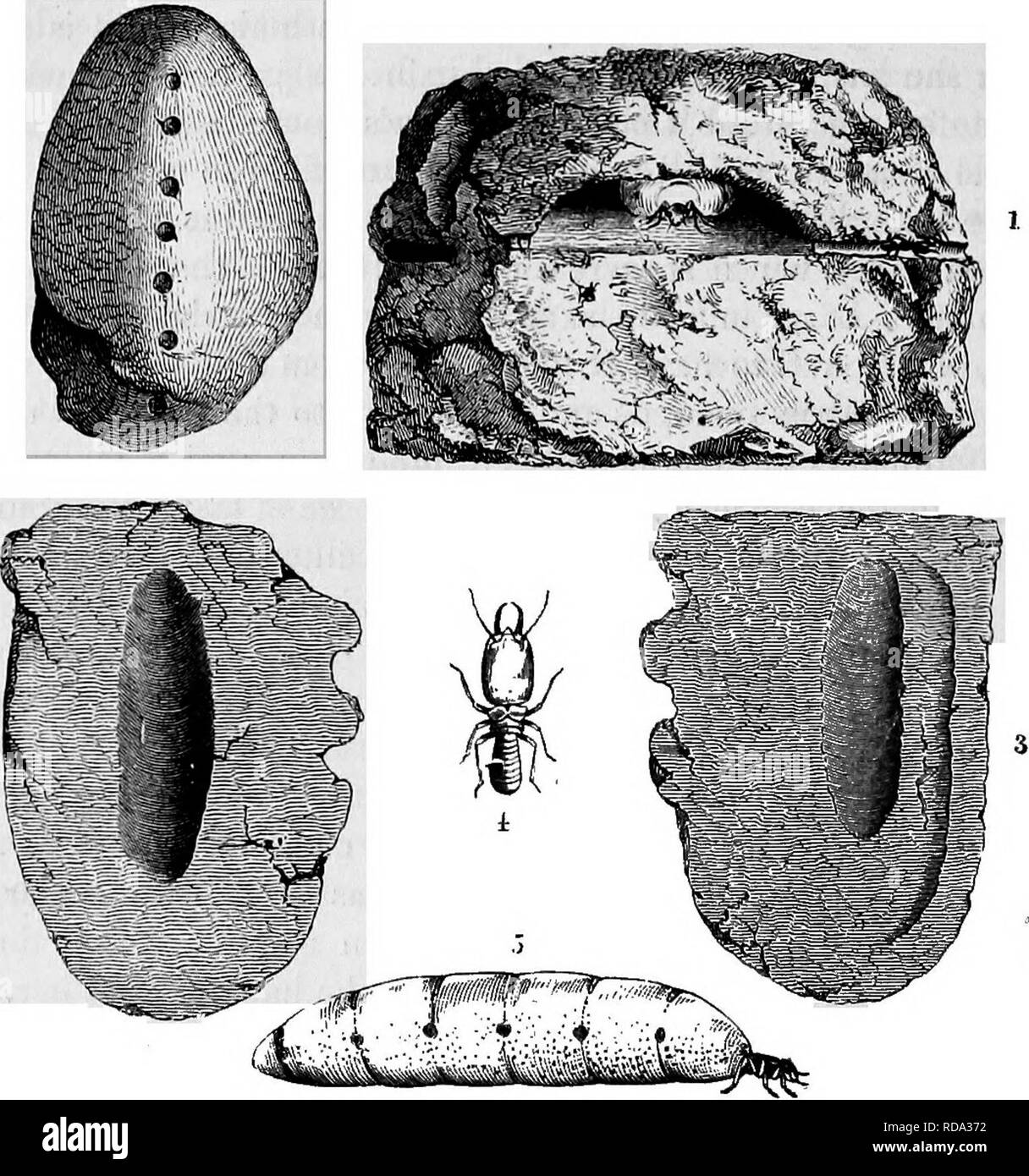 . Homes without hands : being a description of the habitations of animals, classed according to their principle of construction . Animals. 622 HOMES WITHOUT HANDS.. Termite Cell. Througli these passages the workers are continually passing, some entering with empty jaws, and others emerging, each hold- ing between its mandibles an egg, which it is conveying to the nurseries. So rapidly are the eggs laid, that the workers are fully employed in carrying them out and placing them under the charge of the nurses. The contrast in size between the workers and the queen can easily be seen by reference  Stock Photo