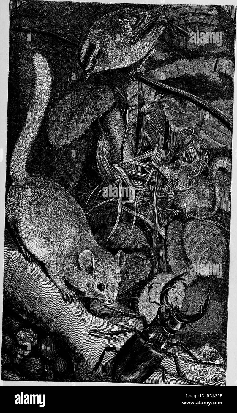 . Homes without hands : being a description of the habitations of animals, classed according to their principle of construction . Animals. DORUOUSB AMD MEST.. Please note that these images are extracted from scanned page images that may have been digitally enhanced for readability - coloration and appearance of these illustrations may not perfectly resemble the original work.. Wood, J. G. (John George), 1827-1889; Keyl, Friedrich Wilhelm, 1823-1871; Smith, E. A. (Edward Alfred); Pearson, G. (George). New York : Harper & Brothers Stock Photo