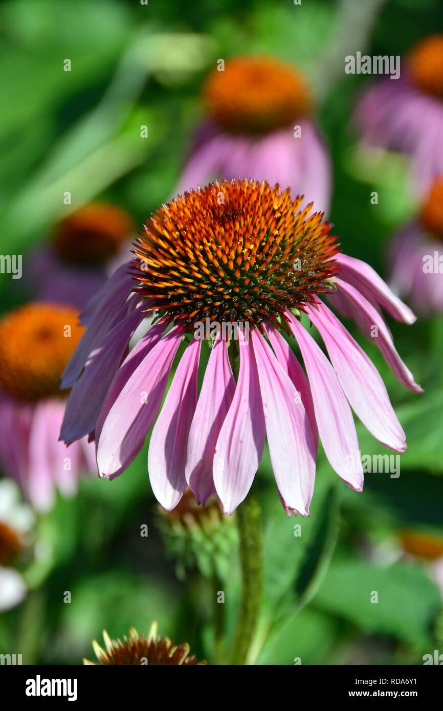 eastern purple coneflower, hedgehog coneflower, purple coneflower, bíbor kasvirág, Echinacea purpurea, Purpur-Sonnenhut, Roter Scheinsonnenhut - Stock Image