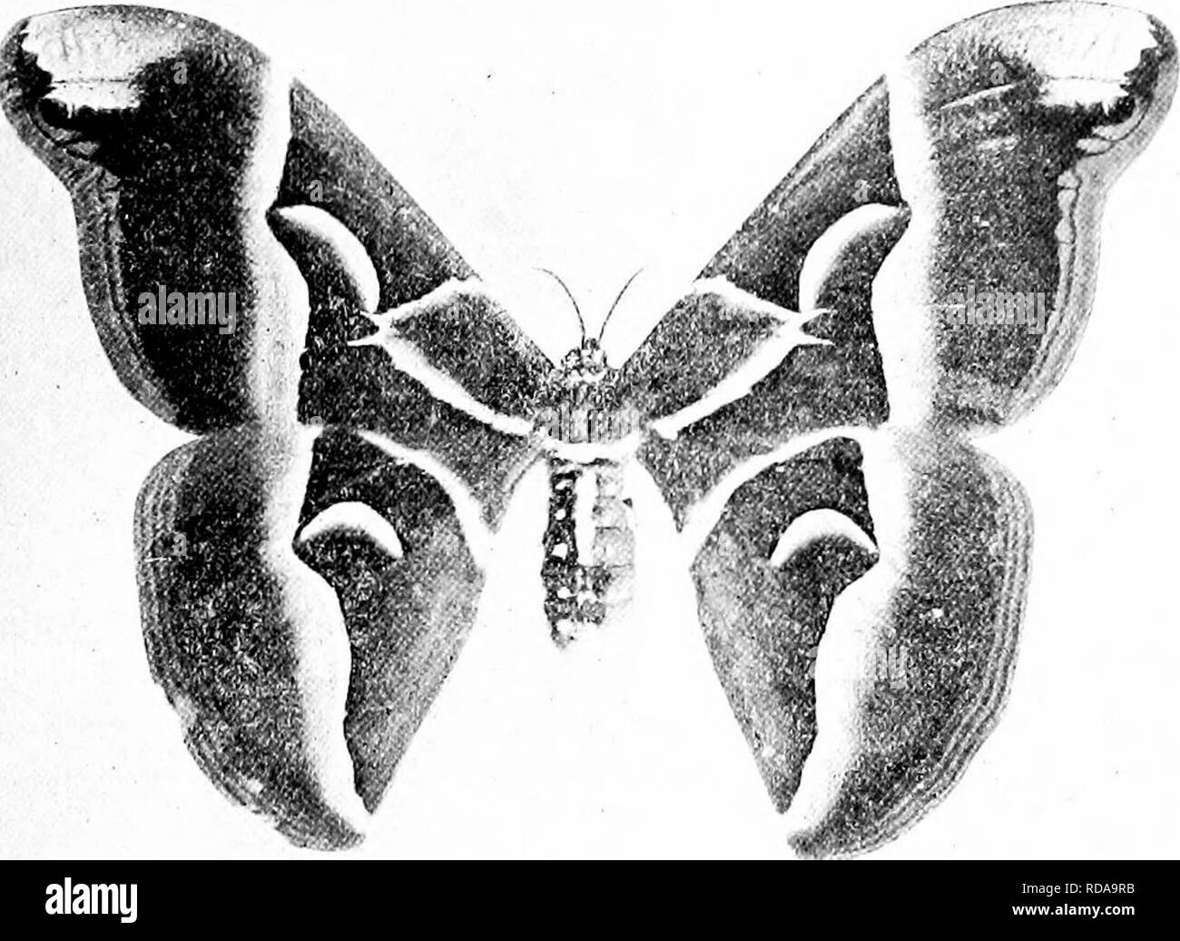 Snake Moth Stock Photos Snake Moth Stock Images Page 2
