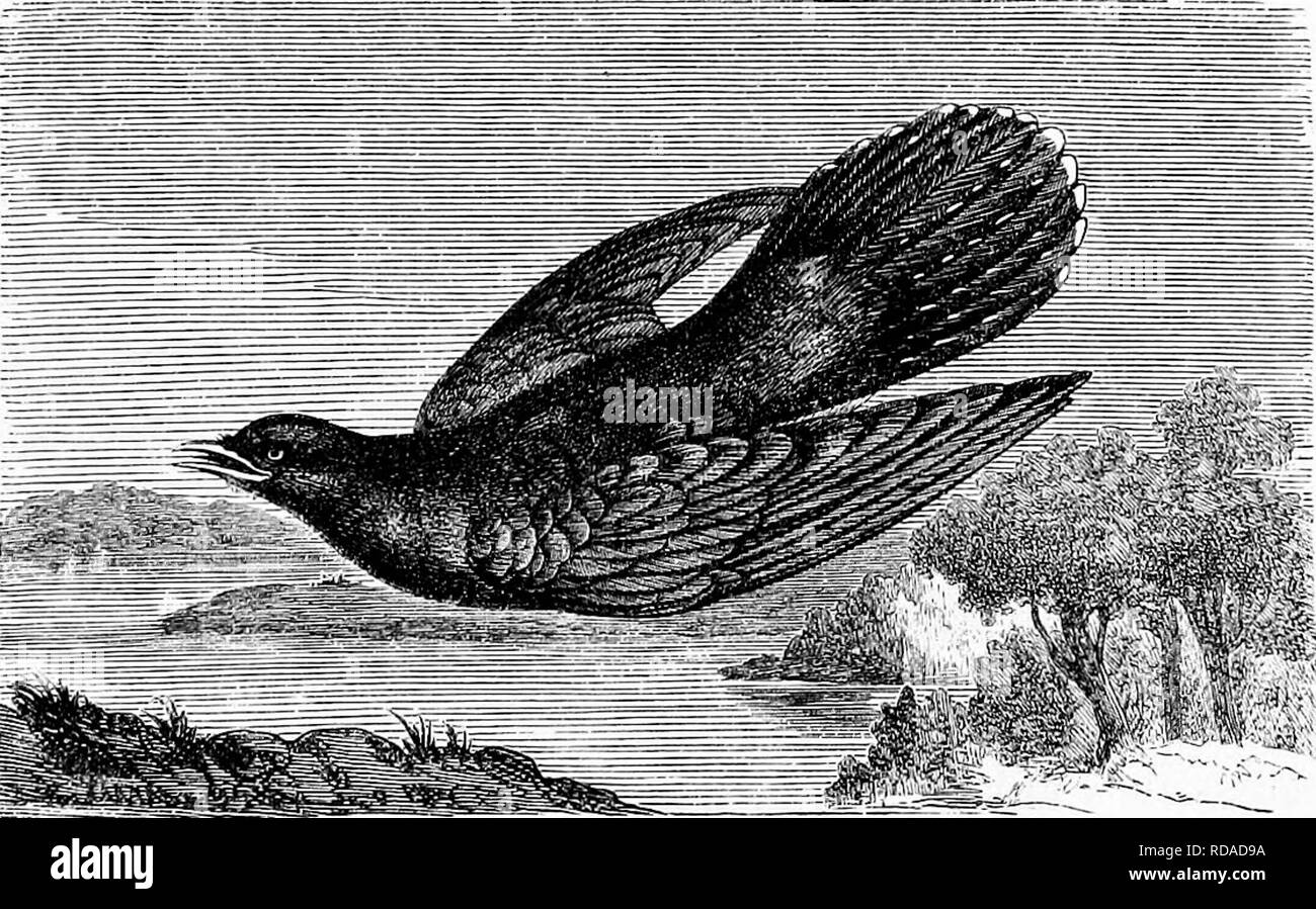 . Reptiles and birds. A popular account of the various orders; with a description of the habits and economy of the most interesting. Birds; Reptiles. CUCKOOS. 471 fixed home. At the breeding-time they wander from one district to another, reside two or three days with a male at one place, and then abandon him, according to inclination. It is at this time that the males so frequently utter the cry known to all the world, and from which the bird derives its name ; it is a sort of call or challenge to the females, which in their turn reply by a peculiar clucking. Guckoos lay eight or ten eggs in t - Stock Image