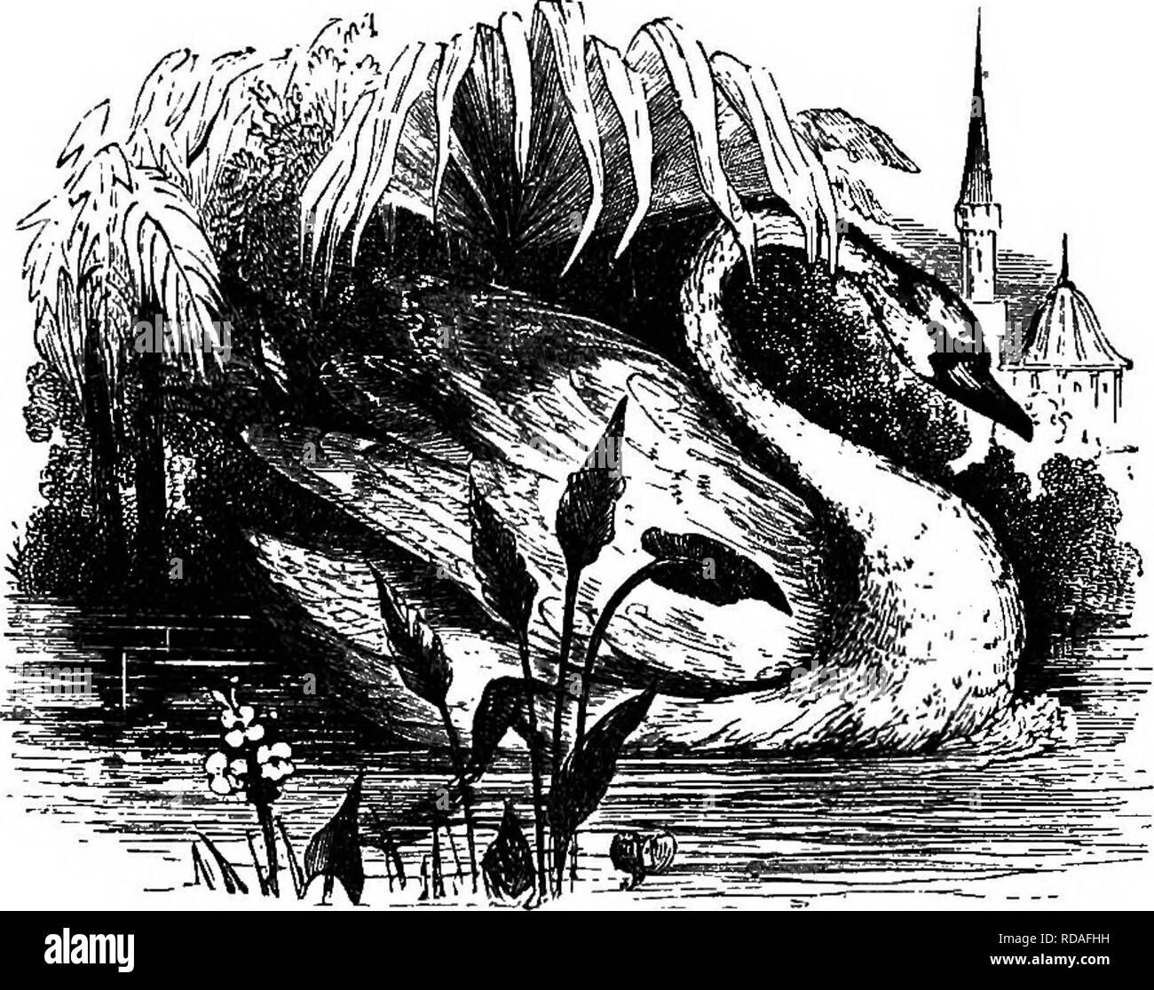 """. Illustrated natural history : comprising descriptions of animals, birds, fishes, reptiles, insects, etc., with sketches of their peculiar habits and characteristics . Zoology. â iOi VERTEBEATES. and a little hooked at the lower end of it. The two sides below its eyns are black and shining like ebony. Swans use their wings like sails, which catch the wind, so that they are driven along in the water."""" This is a peculiarity connected with this water-bird _ and they who have seen its snow-white wings expanded, with the light feathers fluttering in the breeze as it moves rapidly along the gl - Stock Image"""
