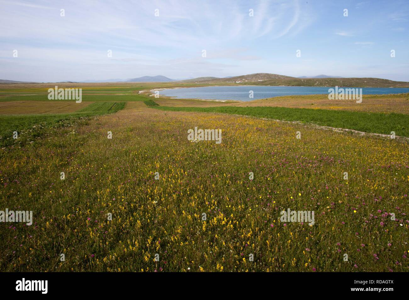 Stips of cultivated machir with black oats and strips of uncultivated machir,rich in wild flowers , biodiverse farming lands cape ,rich historical and wildlife landscape - Stock Image
