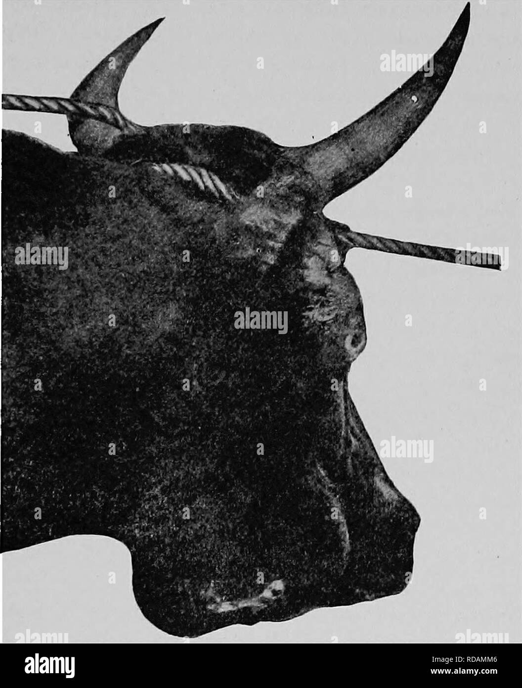 . The diseases of animals; a book of brief and popular advice on the care and the common ailments of farm animals. Veterinary medicine; Domestic animals. Lumpy Jaw of Cattle 415. Fig. 57, Lumpy Jaw, or actinomycosis. they will be found to be rosettes of club-shaped fungi. This fungus {Oladothrix actinomyces var. bovis) is the cause of the disease. If the tumor is free from the bone, the best treatment is to remove it with the knife, and treat the part as a simple wound. If it cannot be removed, in many cases it can be cured by giving iodide of potash internally in. Please note that these image - Stock Image