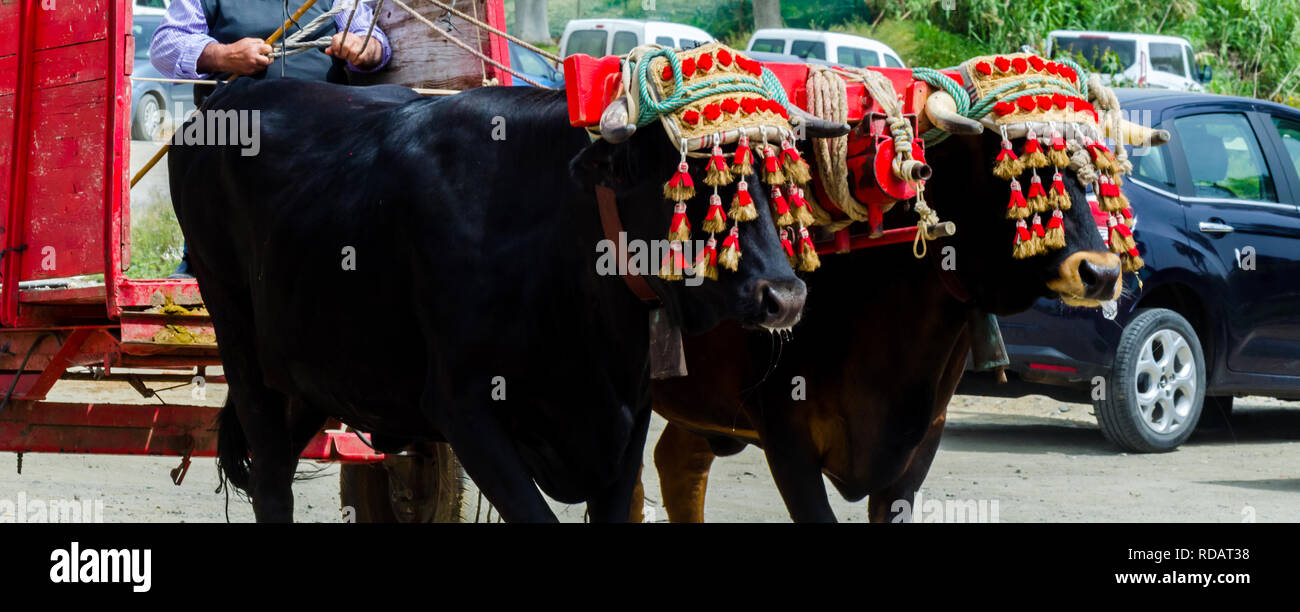 closeup to the head of an ox decorated with traditional decoration, livestock, agriculture Stock Photo