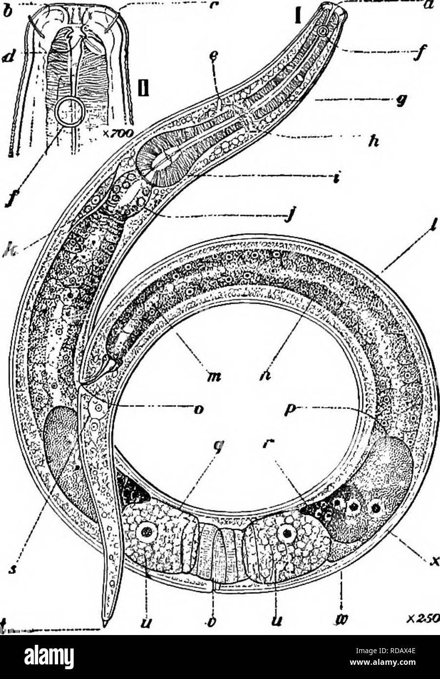 . Fresh-water biology. Freshwater biology. Labial papillae, apparently 12. Onchus thumb- shaped, forward pointing, attached to a distinctly thickened rib of cuticula which extends from the lip region back to the base of the pharynx, and is thicker anteriorly than posteriorly. Fully developed ova are nearly twice as long as the body is wide, and one-third as wide as long. Form, size, and number of eggs un- known. Habitat: Spring, Washington Country Club, Chevy Chase, Md. Fig. 790. Ethmolaimus americanus. Lateral view of a female, a, lips; b, minute dorsal and ventral pharyngeal teeth; c, one of - Stock Image