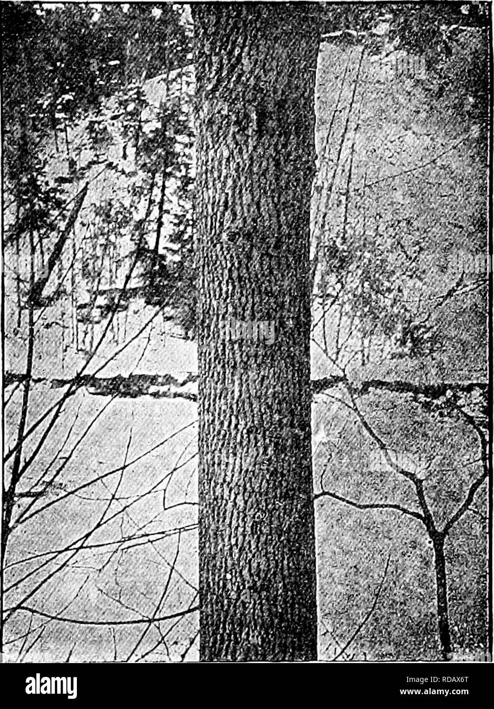 . Handbook of nature-study for teachers and parents, based on the Cornell nature-study leaflets. Nature study. Tree Study 77S lines; the bark smooths out on the lower branches. But even more characteristic than the bark, are the ash branches and twigs; the latter are sparse, coarse and clumsy, those of the white ash being pale orange or gray and seemingly warped into curves at the ends; they are covered with whitish gray dots, which reveal themselves under the lens to be breathing- pores. The white ash loves to grow in rich woods or in rich soil anywhere, even though it be shallow; at its best - Stock Image