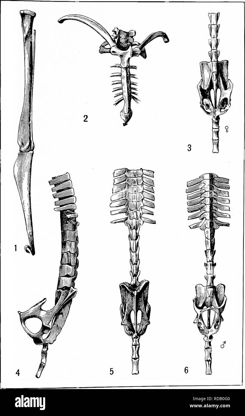 . The families and genera of bats . Bats; Bats. U. S. NATIONAL MUSEUM BULLETIN NO. 57 PL. XIII. Shoulder Girdle, Pelves, and Leg Bones of Noctilio. For explanation of plate see page XV.. Please note that these images are extracted from scanned page images that may have been digitally enhanced for readability - coloration and appearance of these illustrations may not perfectly resemble the original work.. Miller, Gerrit Smith, 1869-. Washington : Govt. Print. 0ff. - Stock Image