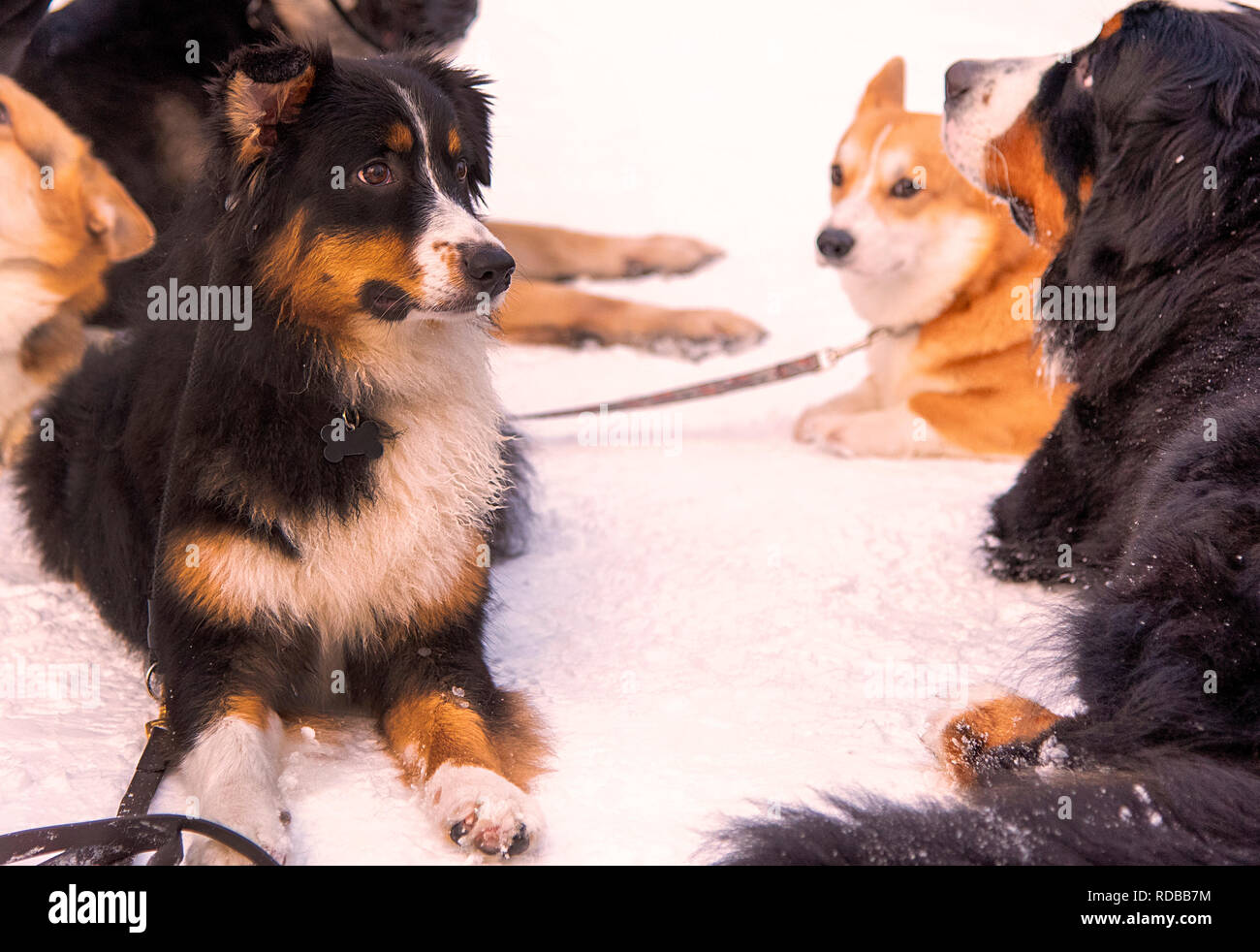 Aussie Australian shepherd lying on the snow among other dog - Stock Image