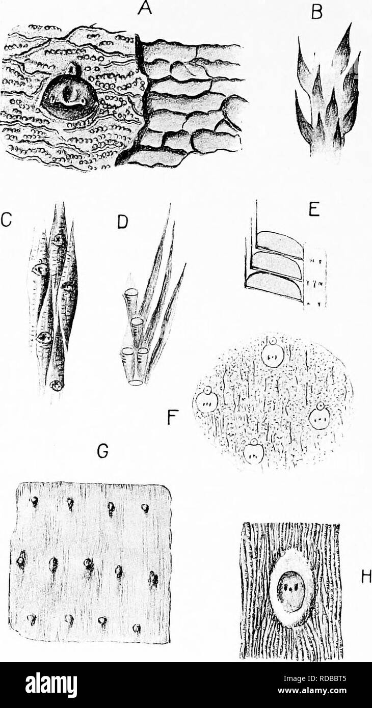 . Fossil plants : for students of botany and geology . Paleobotany. 252 LYCOPODIALES [CH.. Fig. 212. Bothrodendron. A. Bothrodendron minutifolium, var. rotundatn Weiss. After Weiss and Sterzel. B. B. punctatum. After Zeiller. C. B. minutifoUmn. After Weiss and Sterzel. D. B. minutifolium. After Zeiller. E. Lepidostrobus Olryi. After Zeiller. F. Bothrodendron punctatum. After Zeiller. O, H. B. kiltorkense. G, after Nathorst; H, after Weiss and Sterzel.. Please note that these images are extracted from scanned page images that may have been digitally enhanced for readability - coloration and app - Stock Image
