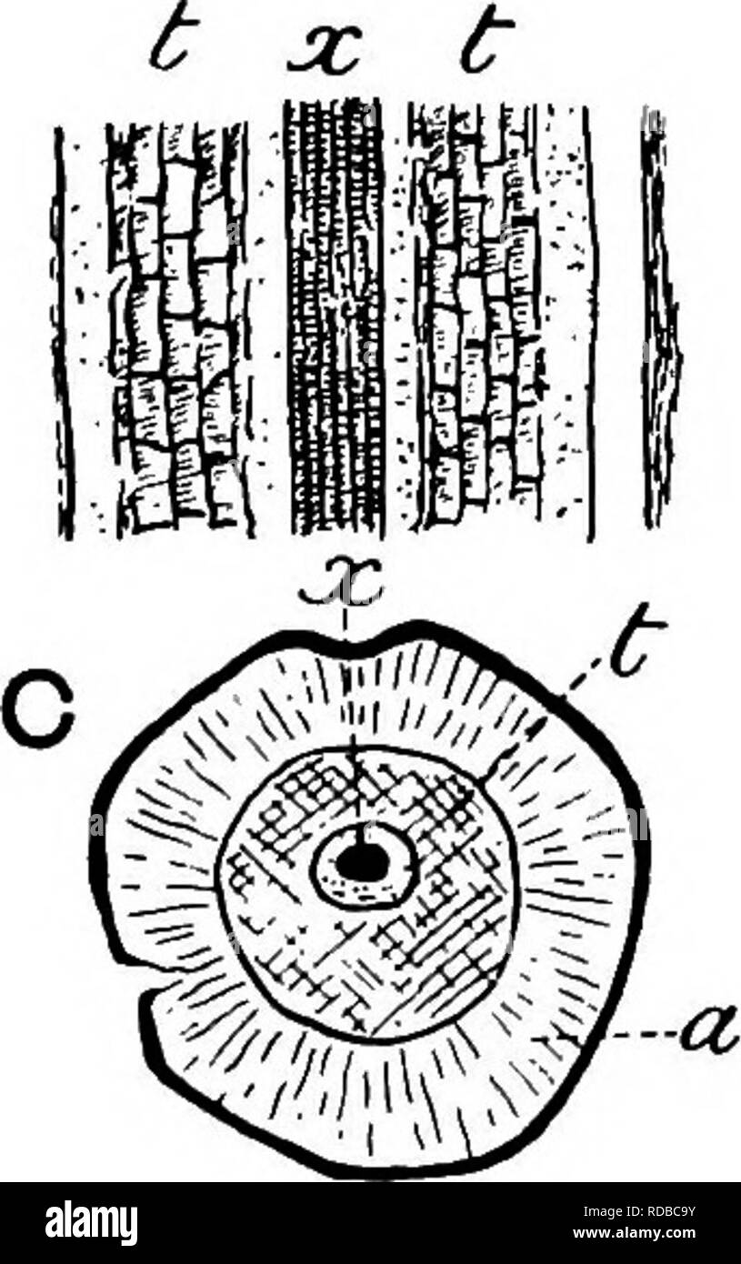 daefaa9a33d Fossil plants   for students of botany and geology . Paleobotany. Fig. 143 .