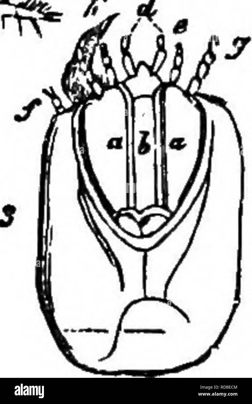 . Agricultural zoology. Zoology. Fig. 74.—The Skipjack iAgriotis lineatui): 1, magnified larva, below it the under side of the tip of the abdomen and the larva, natural size; 2, the beetle; 3, under side of the head of the larva, strongly magnified, o, maxilla; 6, lower lip; d, labial palp; e, fe, inner and outer maxil- lary palps;/, antennae.. Please note that these images are extracted from scanned page images that may have been digitally enhanced for readability - coloration and appearance of these illustrations may not perfectly resemble the original work.. Bos, Jan Ritzema, 1850-1928; Ain - Stock Image