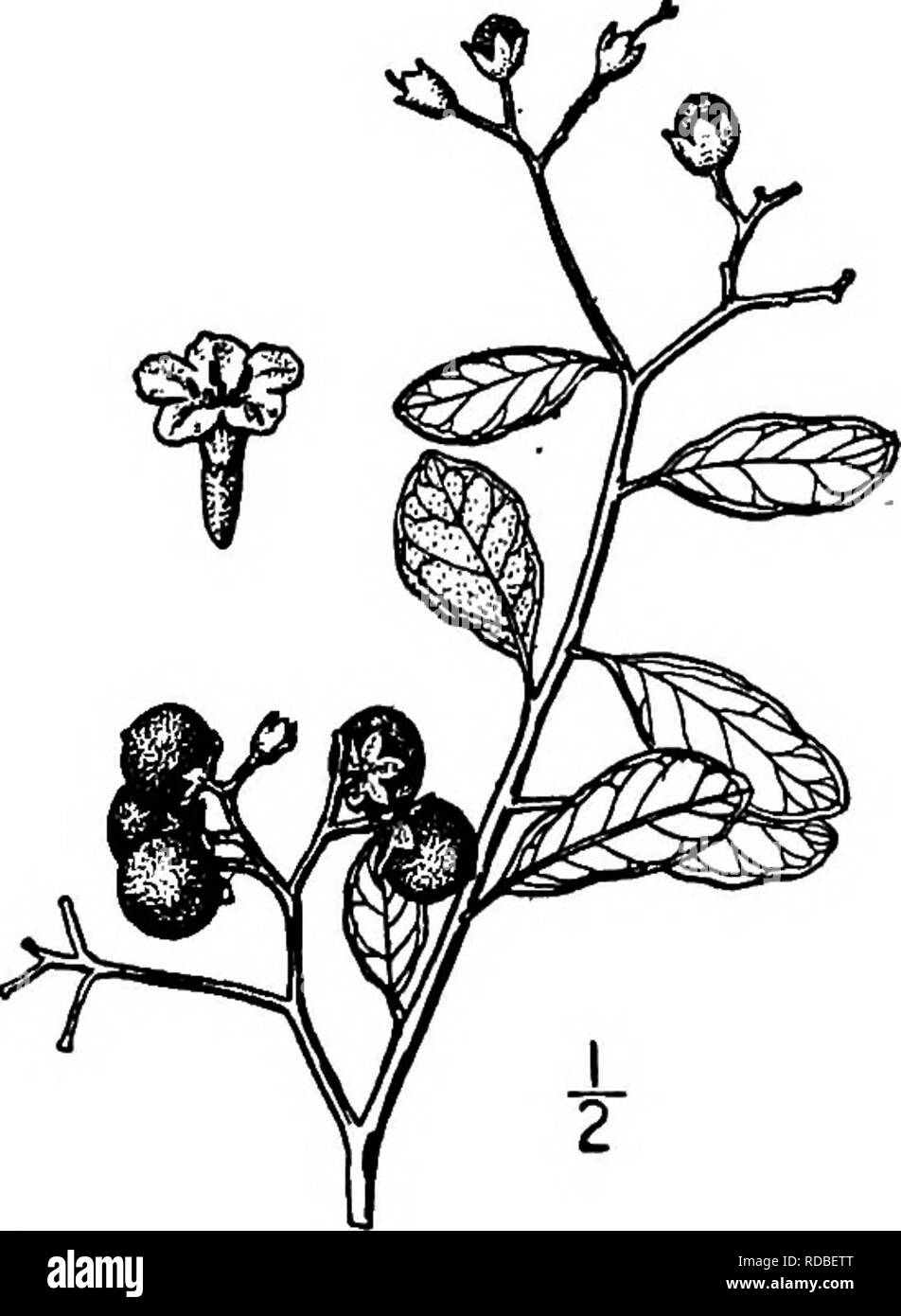 . North American trees : being descriptions and illustrations of the trees growing independently of cultivation in North America, north of Mexico and the West Indies . Trees. Rough-Leaved Strongback 821 11. THE STRONGBACKS GENUS BOURRERJA PATRICK BROWNE OURRERIA is composed of about 18 species of trees or shrubs, abun- dant in the West Indies, and peculiar to tropical America, 2 of which enter our area on the Florida Keys. They have alternate evergreen leaves. The white flowers are in terminal corymbose cymes; the calyx is bell-shaped, persistent, sometimes accres- cent, 2- to 5-lobed; the cor - Stock Image