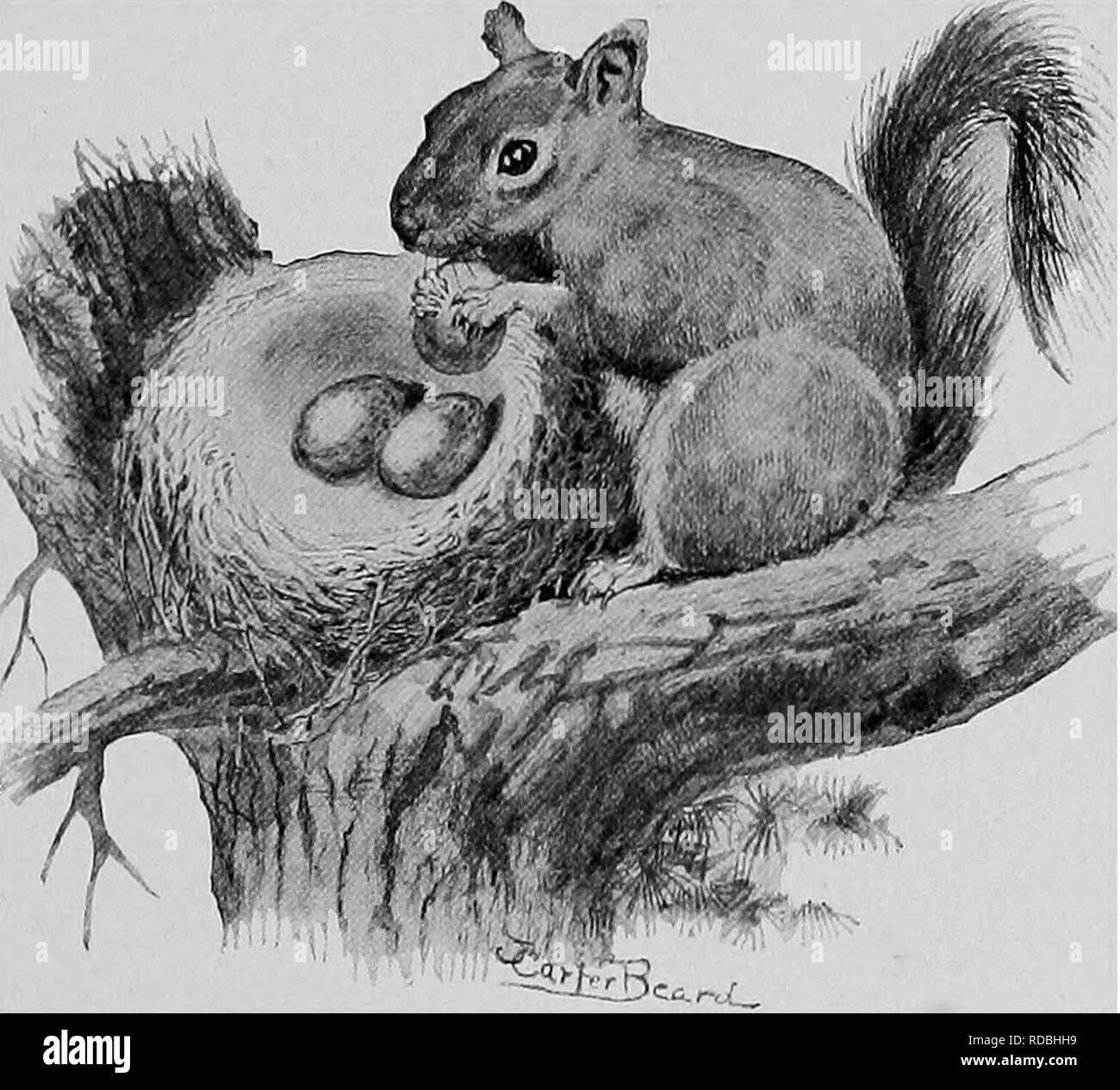 Red Squirrels Black and White Stock Photos & Images - Alamy