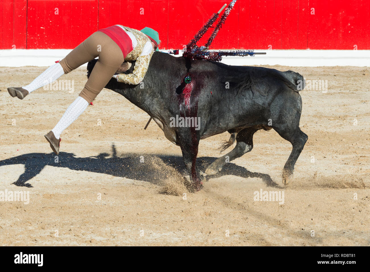 Bullfight in Alcochete. Forcado challenging a bull and trying to stop it, Bulls are not killed during the bullfight, Alcochete, Setubal Province, Port - Stock Image