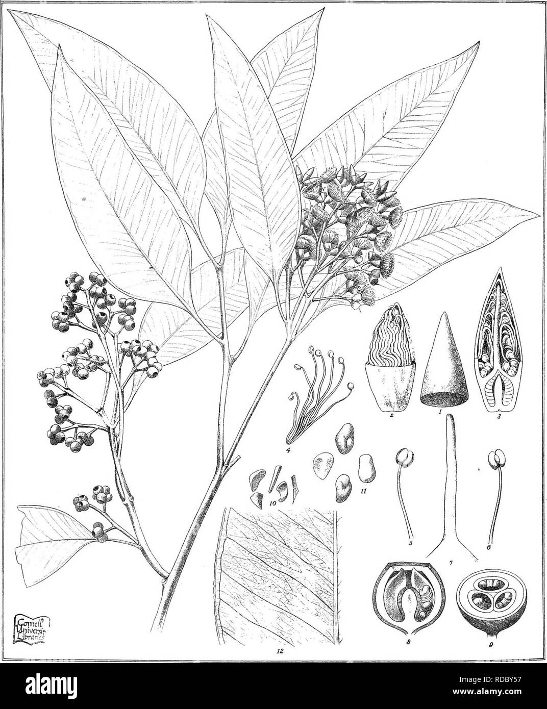 . Eucalyptographia. A descriptive atlas of the eucalypts of Australia and the adjoining islands;. Eucalyptus; Botany. Toat del C. Trcedel * C° LitK. Ev.M. direxit. SUam LitKo Gov Printinl Office Melb ^, ii©i%]|)(iii l@TOliiimii.FjM '/.IVi. Please note that these images are extracted from scanned page images that may have been digitally enhanced for readability - coloration and appearance of these illustrations may not perfectly resemble the original work.. Mueller, Ferdinand von, 1825-1896. Melbourne, J. Ferres, Govt. Print; [etc. ,etc. ] - Stock Image