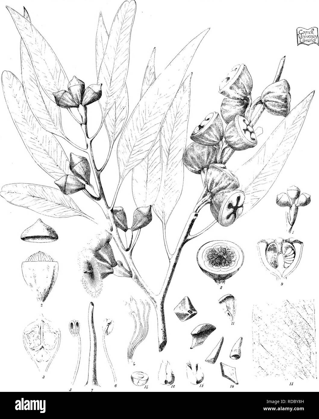 . Eucalyptographia. A descriptive atlas of the eucalypts of Australia and the adjoining islands;. Eucalyptus; Botany. Tbdt del. C.Troedel i C'litl, F. v-.M. direzii. Slsam Lillio Got. Pnntug Office,Msll 15!iM!^te aiBf lis^lii, FvM.. Please note that these images are extracted from scanned page images that may have been digitally enhanced for readability - coloration and appearance of these illustrations may not perfectly resemble the original work.. Mueller, Ferdinand von, 1825-1896. Melbourne, J. Ferres, Govt. Print; [etc. ,etc. ] - Stock Image
