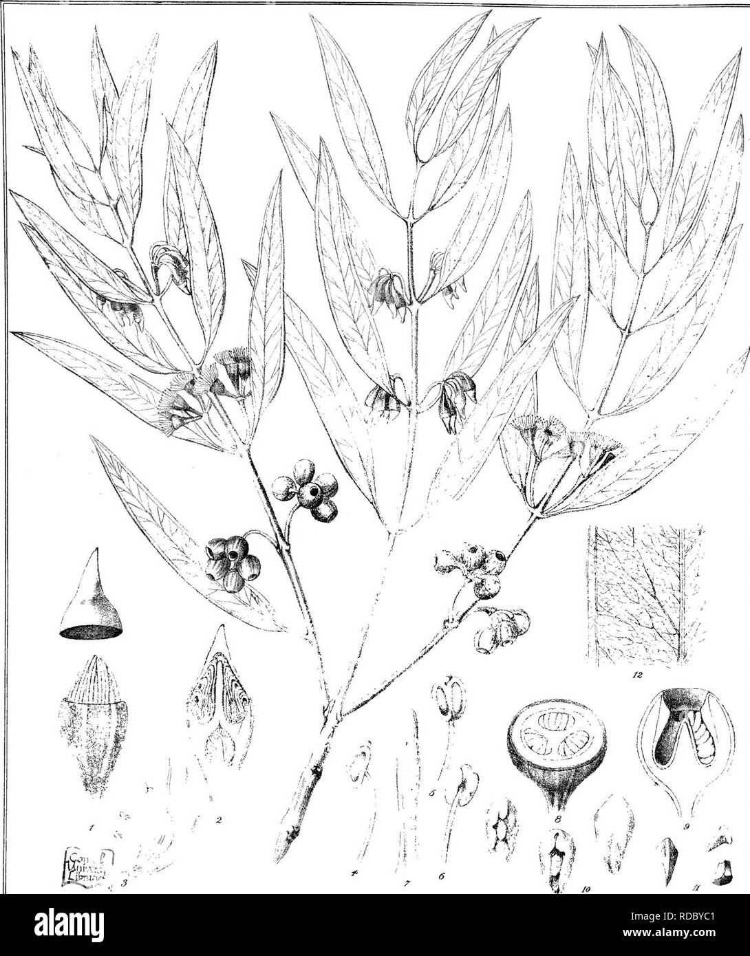 . Eucalyptographia. A descriptive atlas of the eucalypts of Australia and the adjoining islands;. Eucalyptus; Botany. T^d- it C Trosdd aC9 Lilk FirM dirc/il Sleam Lilho GovPrinling Ofdca Mslb ;Si(gii!lf]pteg ®(DmS(DSfl(i)ia. rvM.. Please note that these images are extracted from scanned page images that may have been digitally enhanced for readability - coloration and appearance of these illustrations may not perfectly resemble the original work.. Mueller, Ferdinand von, 1825-1896. Melbourne, J. Ferres, Govt. Print; [etc. ,etc. ] - Stock Image