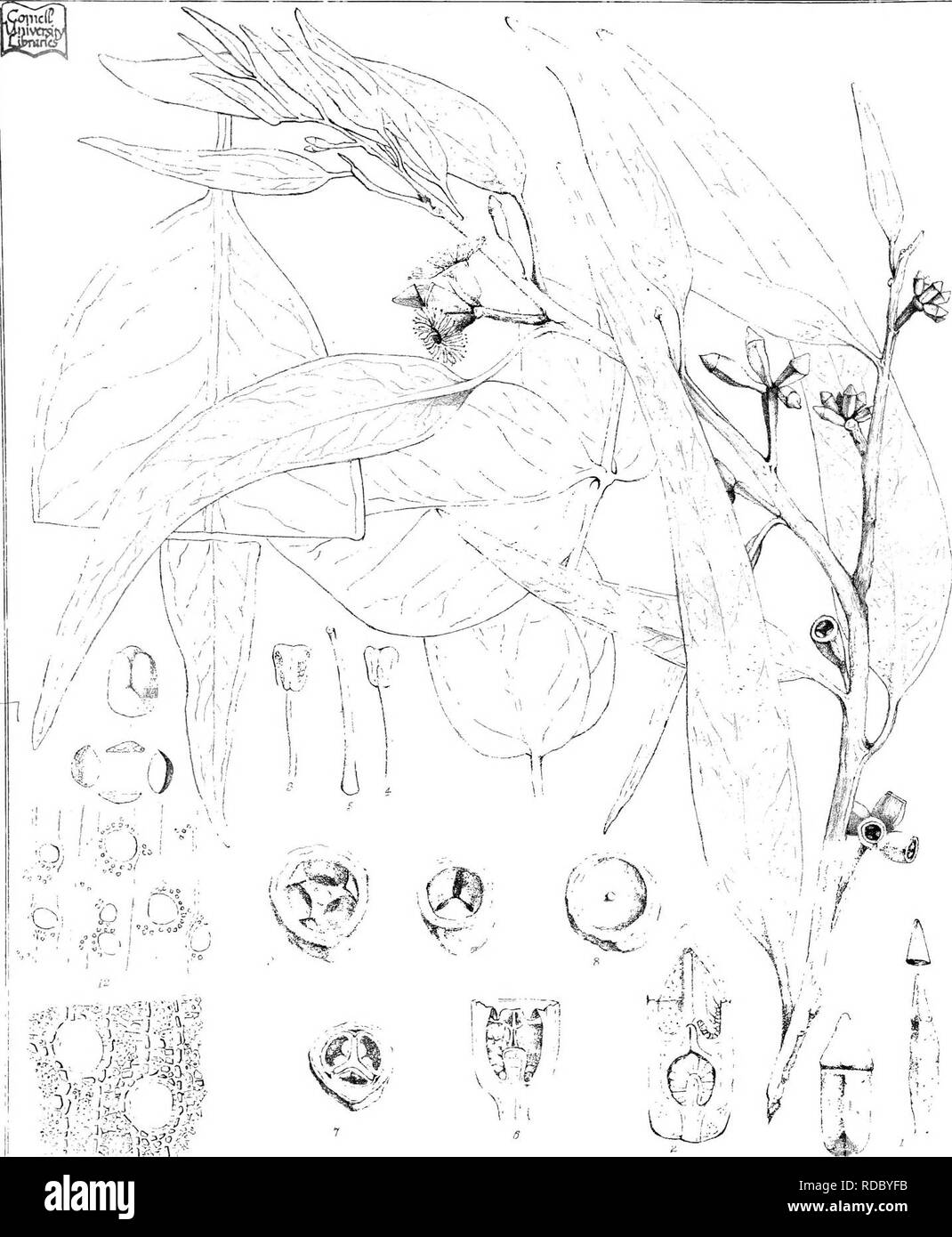 . Eucalyptographia. A descriptive atlas of the eucalypts of Australia and the adjoining islands;. Eucalyptus; Botany. .1 0^jmim:fm h.'iiir, von Mueilfirdirex CTroedHlPjCimp. m^e;al:y|'inj |D::niin)!giiJlfs,7W. Please note that these images are extracted from scanned page images that may have been digitally enhanced for readability - coloration and appearance of these illustrations may not perfectly resemble the original work.. Mueller, Ferdinand von, 1825-1896. Melbourne, J. Ferres, Govt. Print; [etc. ,etc. ] - Stock Image