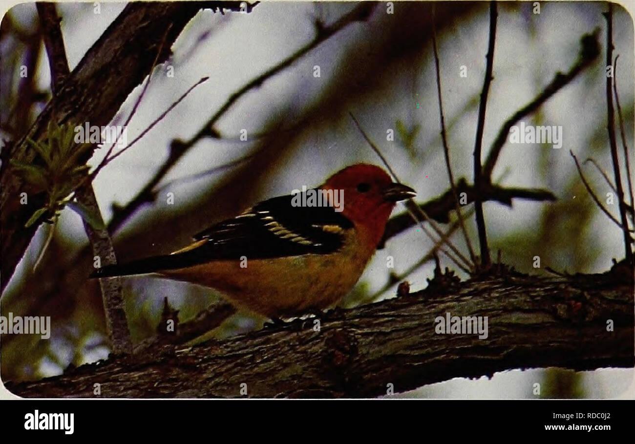 Birds of Yellowstone and Grand Teton National Parks   Birds