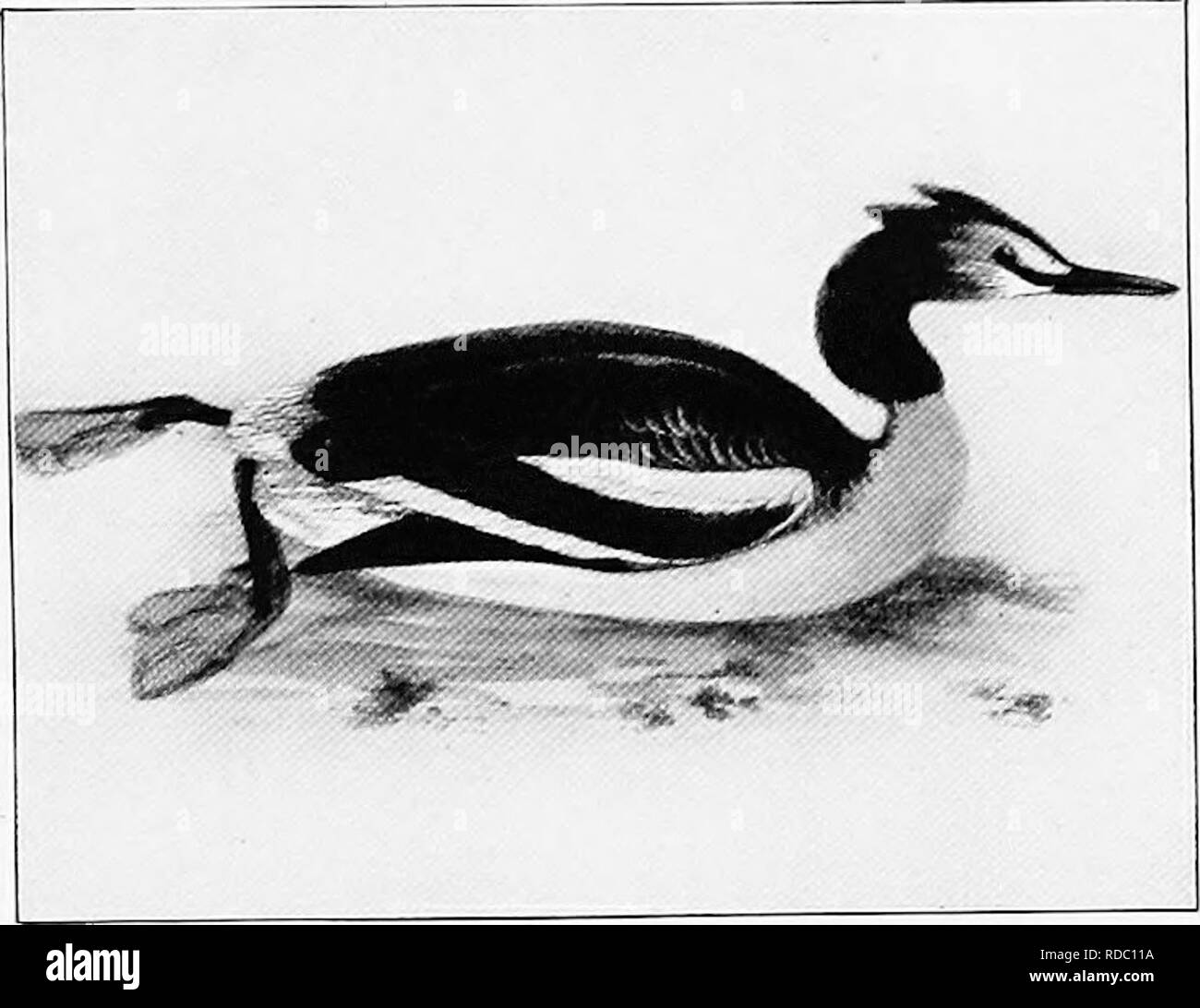 . The birds of Australia. Birds. THE TIPPET GREBE 45 The Tippet Grebe. Podicipes (Lophmtliyia) cristatus. Europe to North Asia, Japan, Indian Peninsula, Africa, New Guinea, Australia, Tasmania, and New Zealand. Colour above dark ash-brown, crown black; feathers on each side of crown elongate and forming a long double crest; throat white tinged with rufous, shading into chestnut at the back of the head; upper neck with long black plumes, forming a ruff, only worn during breeding season; underparts silvery white; sides rufous chestnut; lesser wing coverts white. Total length about 20 inches, cul - Stock Image