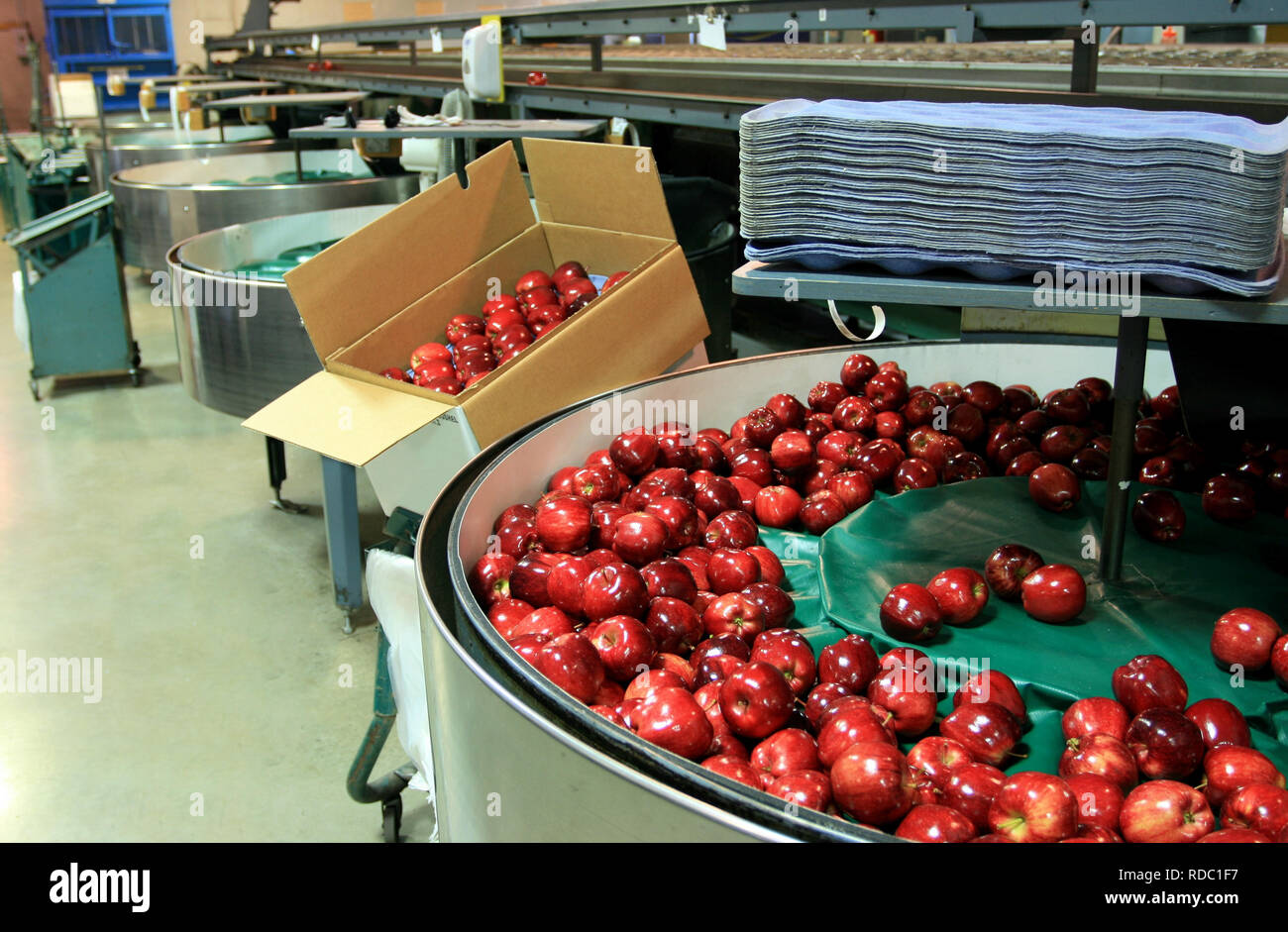 Red Apples in Packing tub in a fruit packaging warehouse with trays and a box on hand - Stock Image